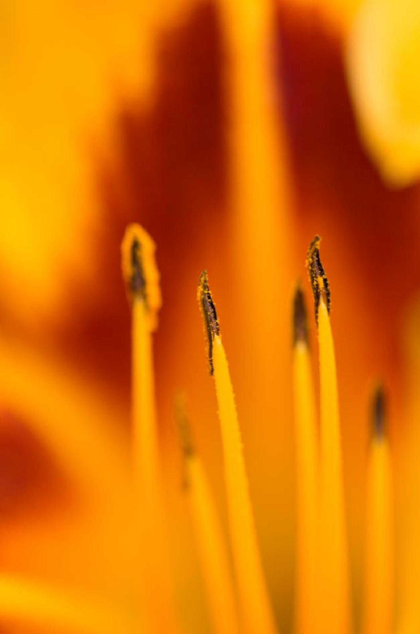 MACRO LYS JAUNE by abeille77