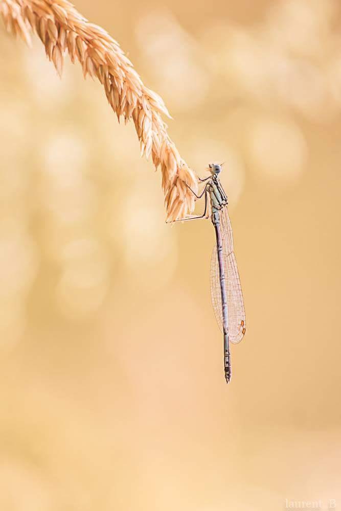 libellule  by abeille77