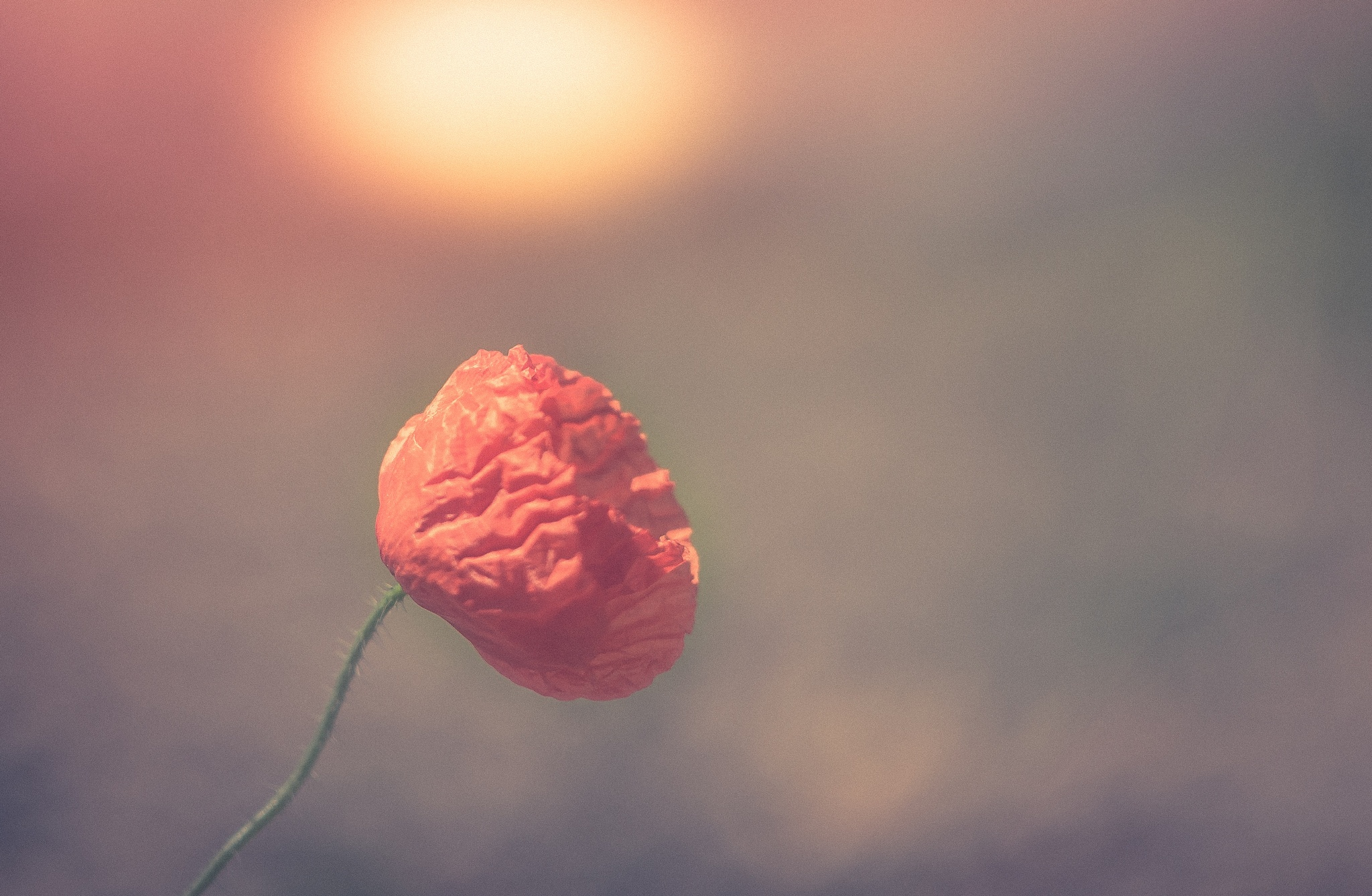 flower 3 by khattou Mourad