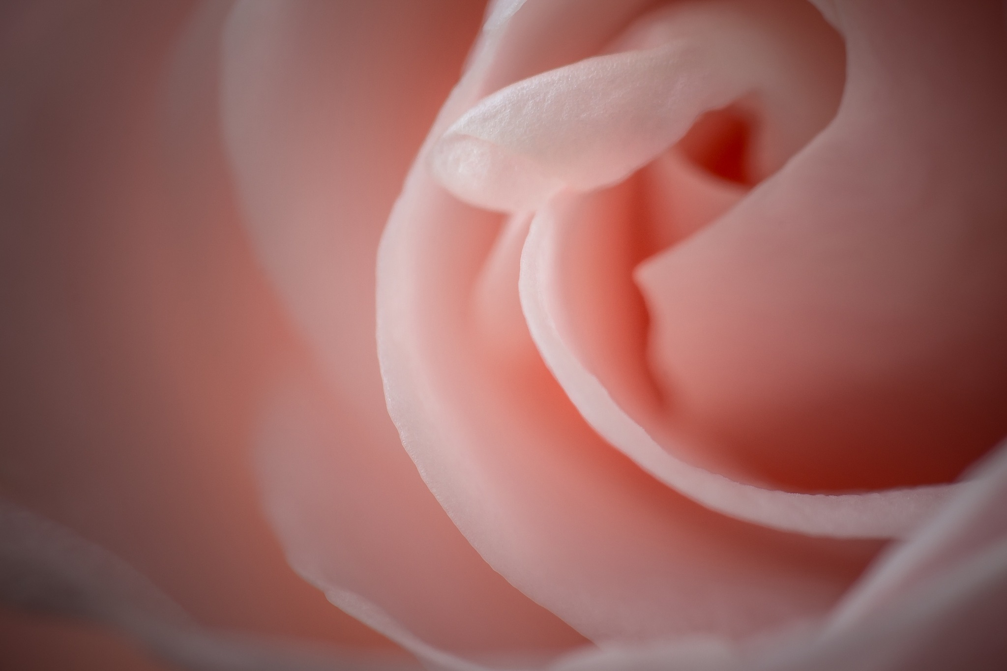 Rose 1 by khattou Mourad