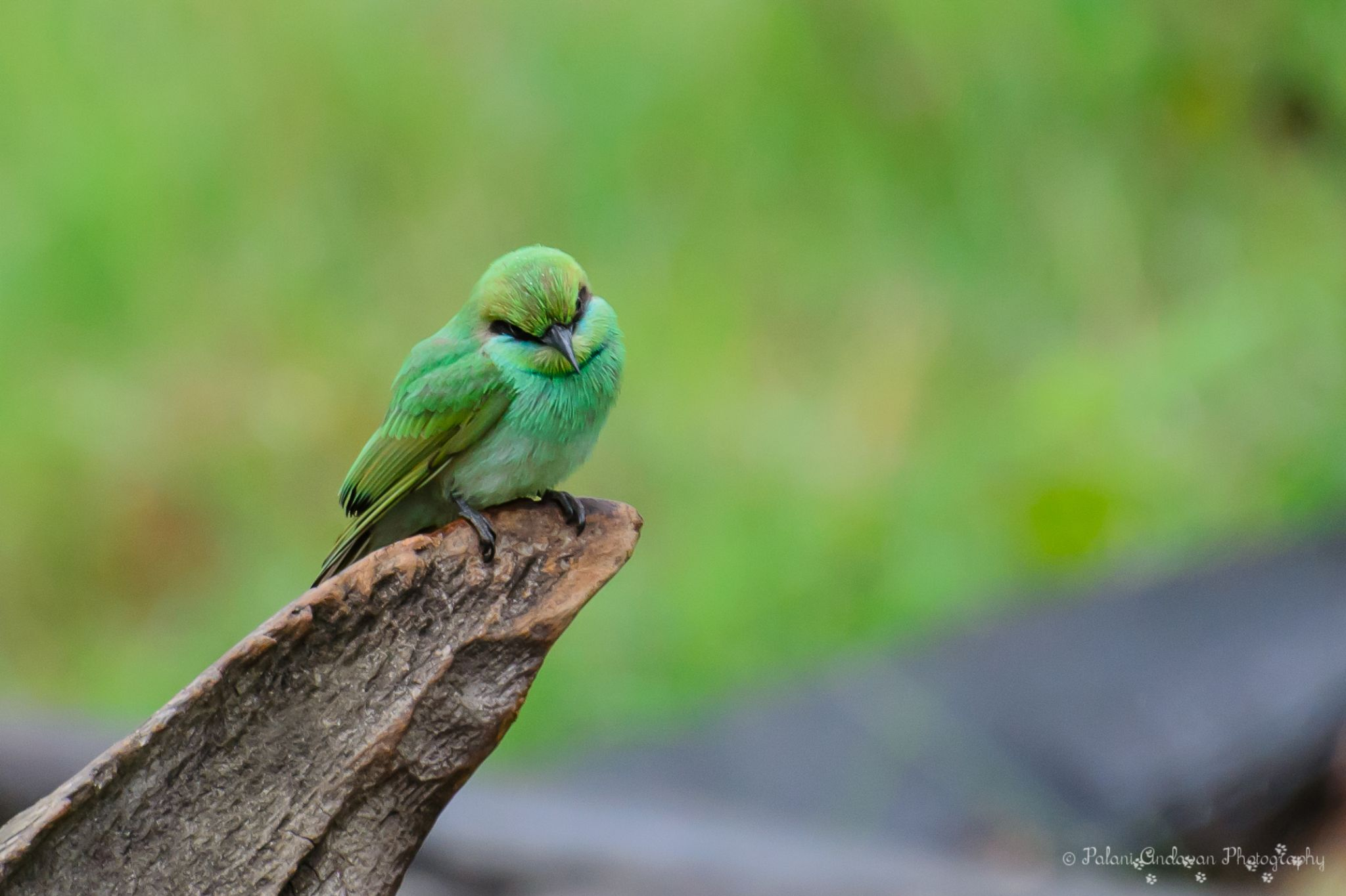 Green Bee Eater by Palani Andavan Balasubramanian