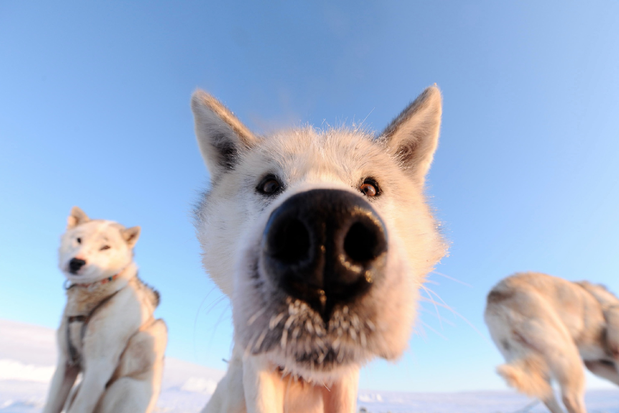 Polar Dog by Martin Hartley