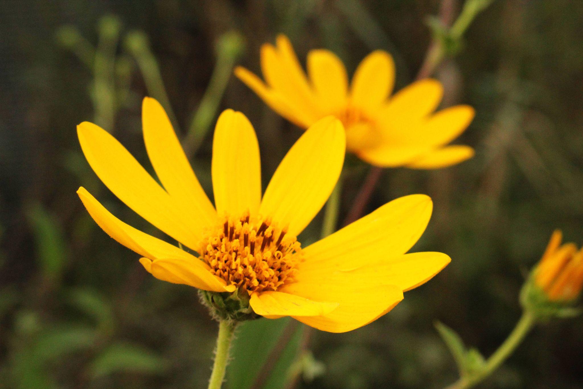 Yellow Felower by Mohammad Hashemi