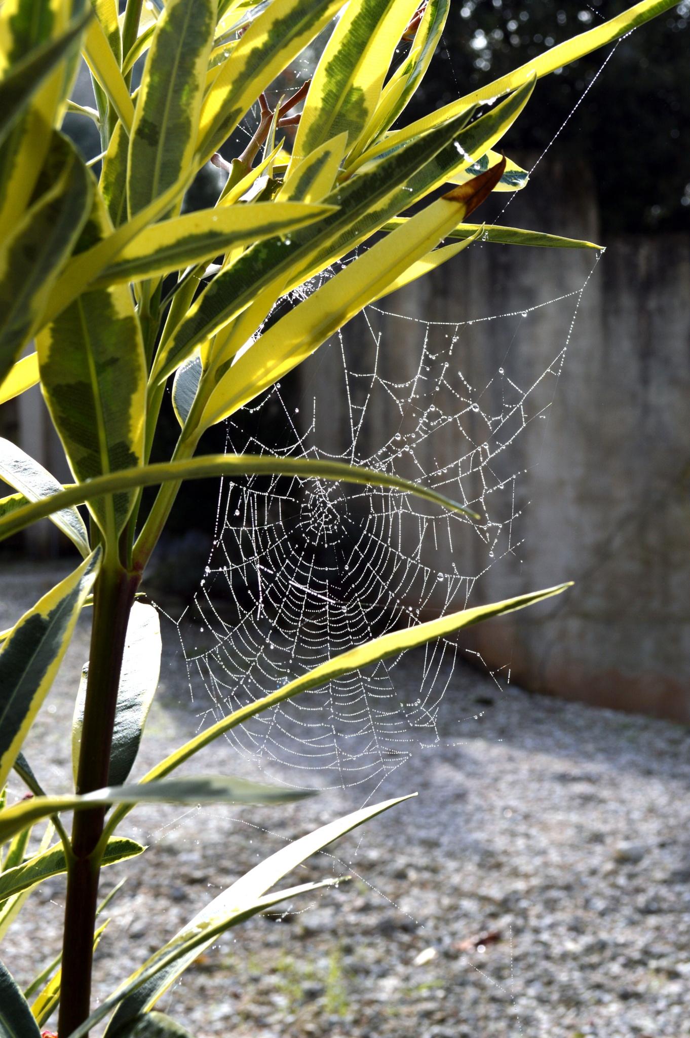 cobweb by Ramiro