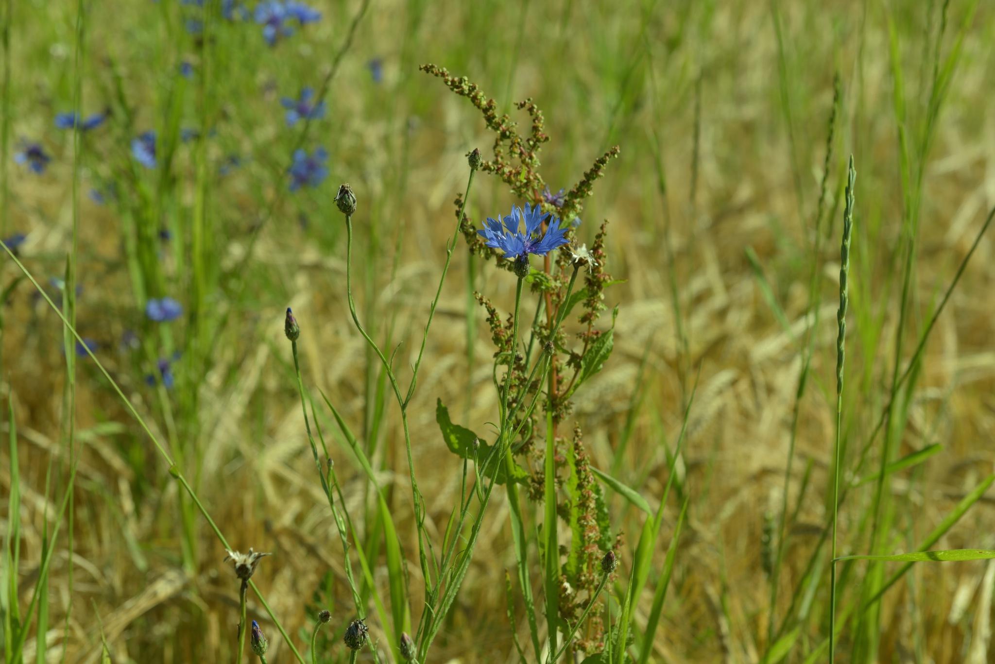 in the wheat field by Liliane Sticher