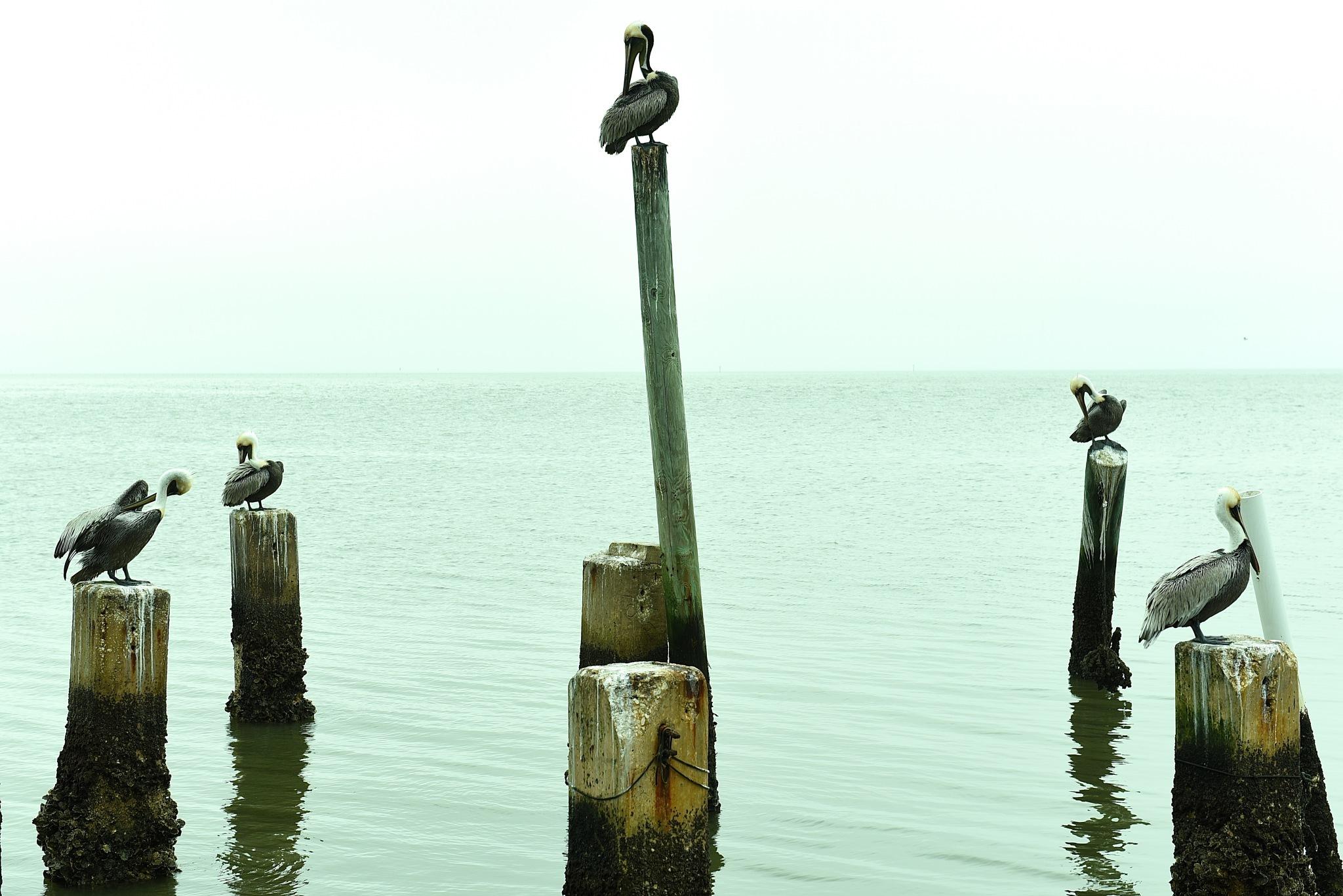 pelicans by Liliane Sticher