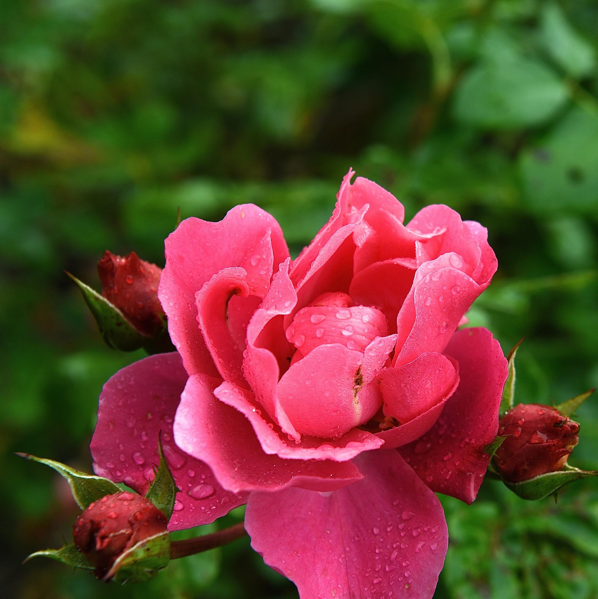 roses under the rain by Liliane Sticher