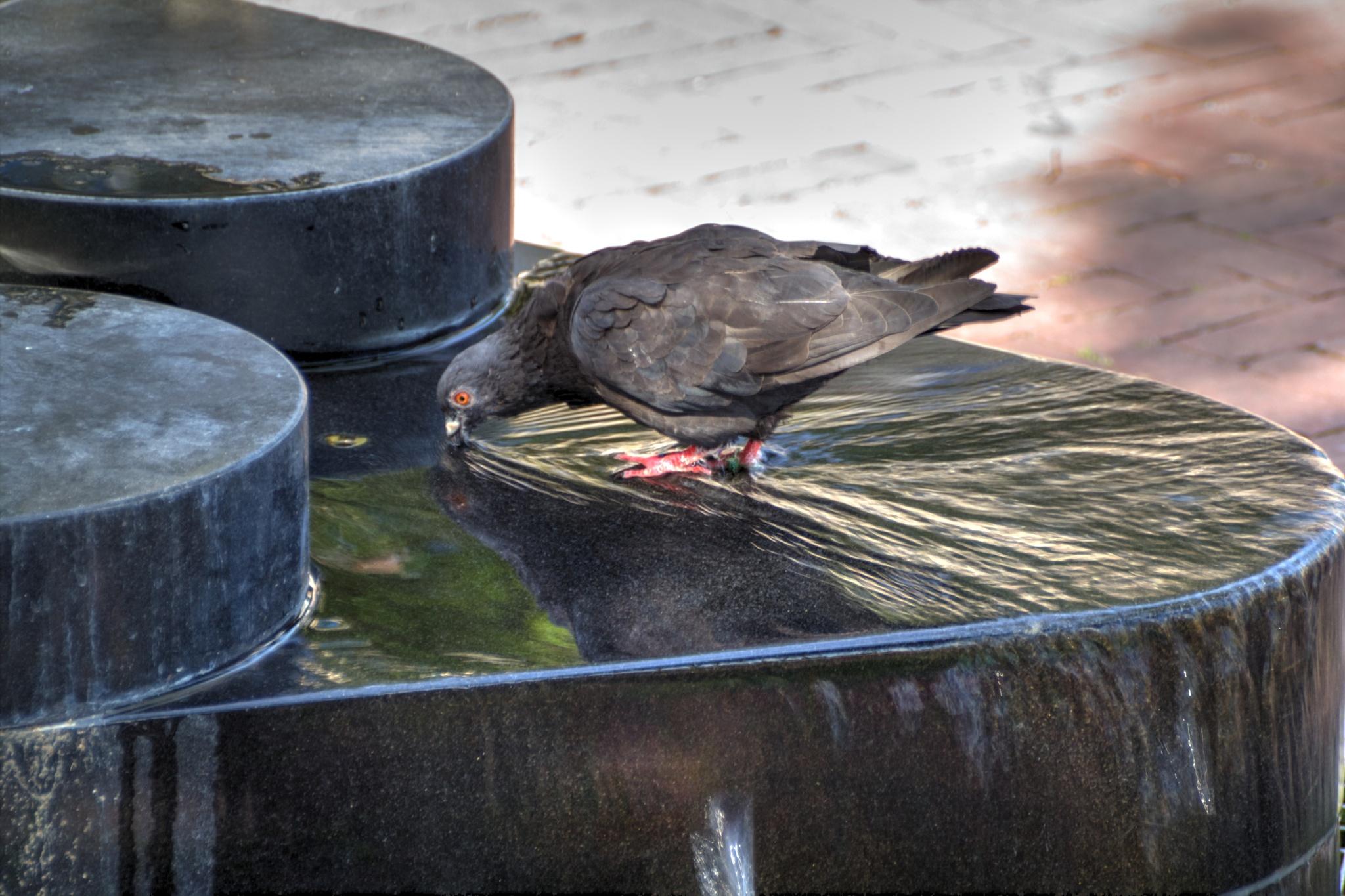 Pigeon by Gerrit Kuyvenhoven