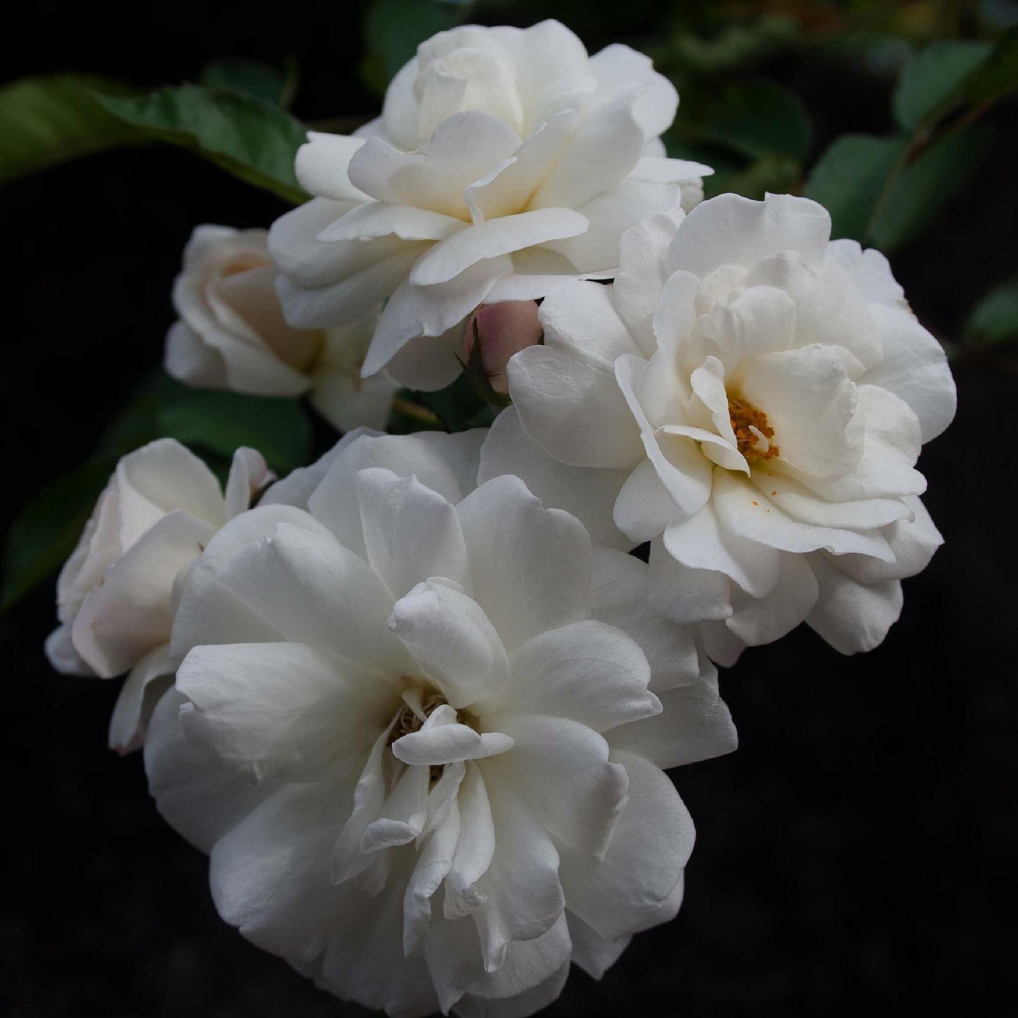 Rose  by Irene Picaud