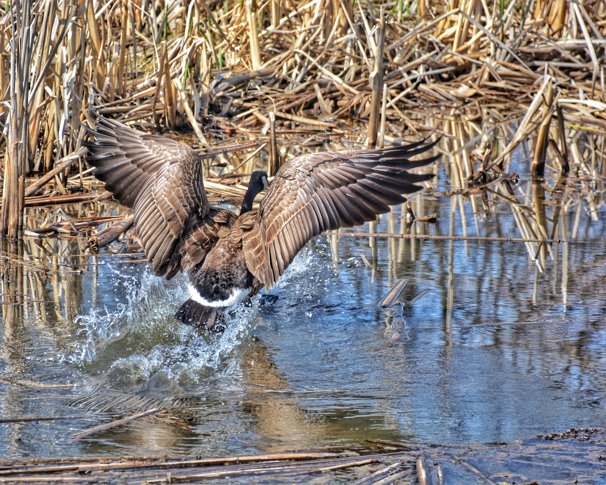 Goose landing by phototerroso