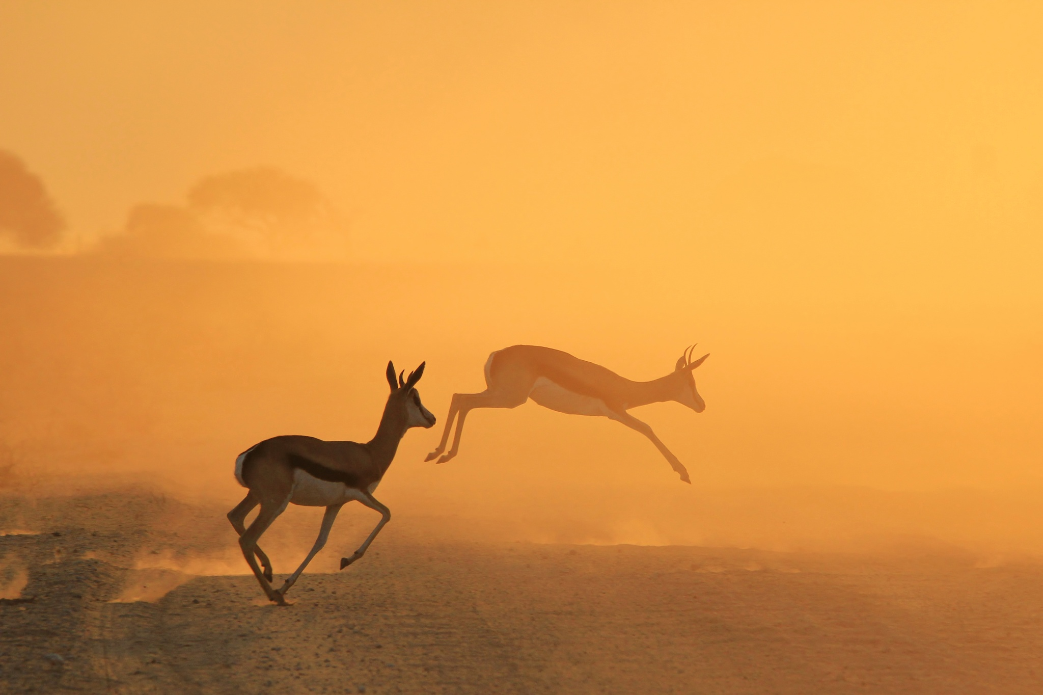 Springbok Antelope - Of Gold and Dust by Andries Alberts