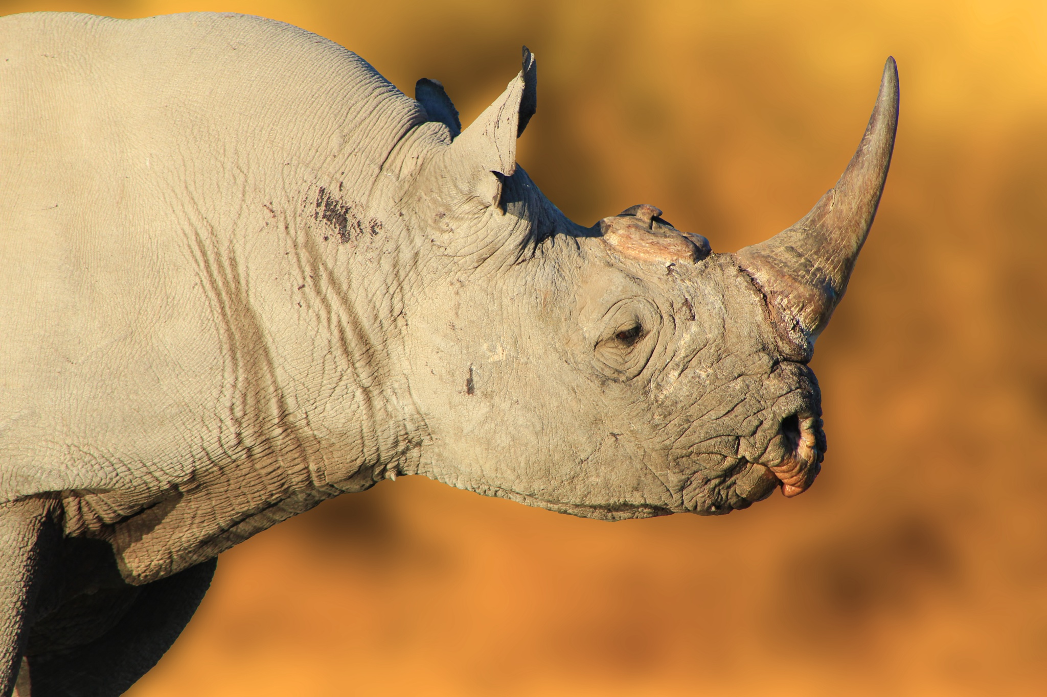 Black Rhino Bull - Iconic  by Andries Alberts