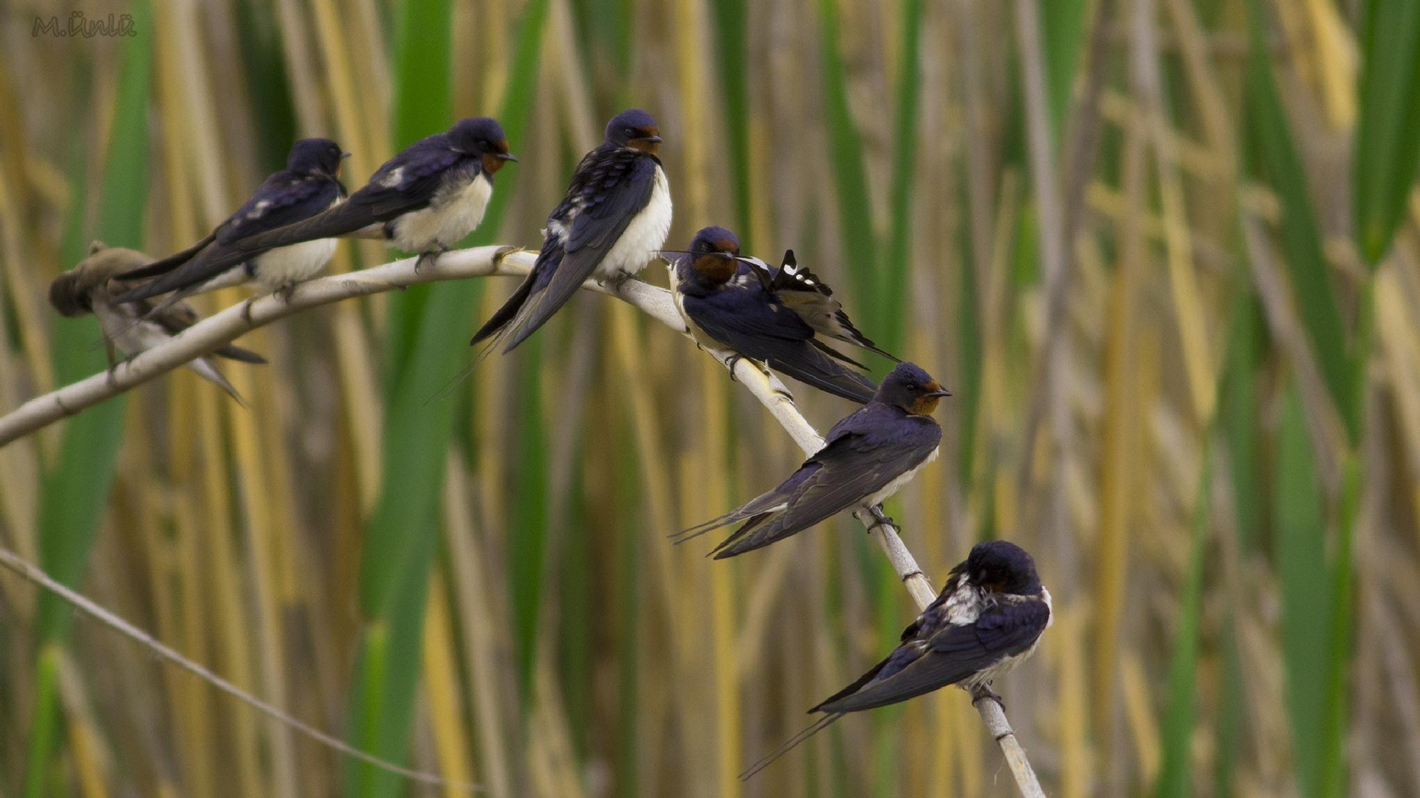 Kır kırlangıcı (TR) Barn Swallow (EN) Hirundo rustica by cografikus