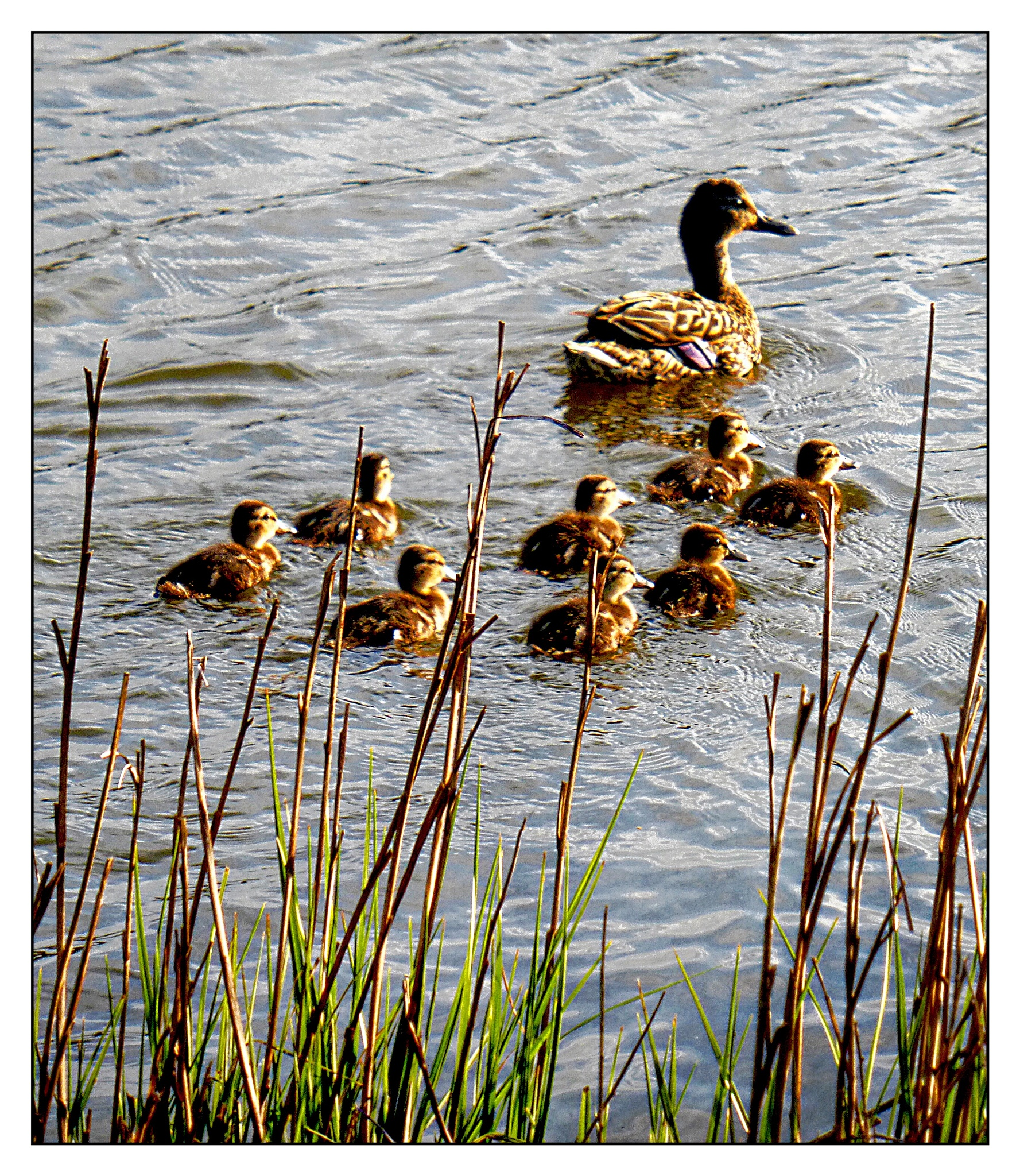 """Eight little Duck's are We""  (c) Richard Cooke by Richard Cooke"