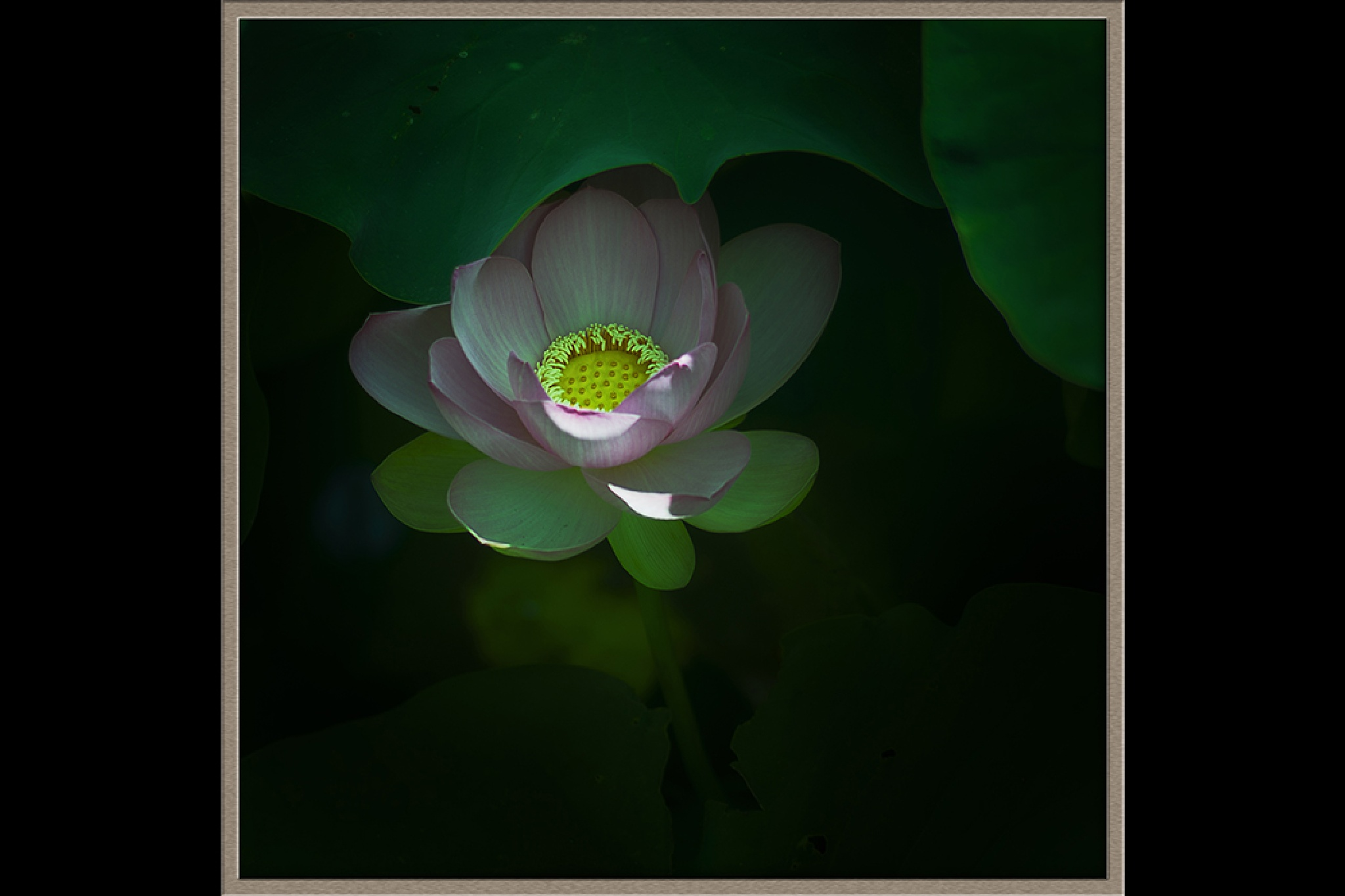 Lotus by quanyin