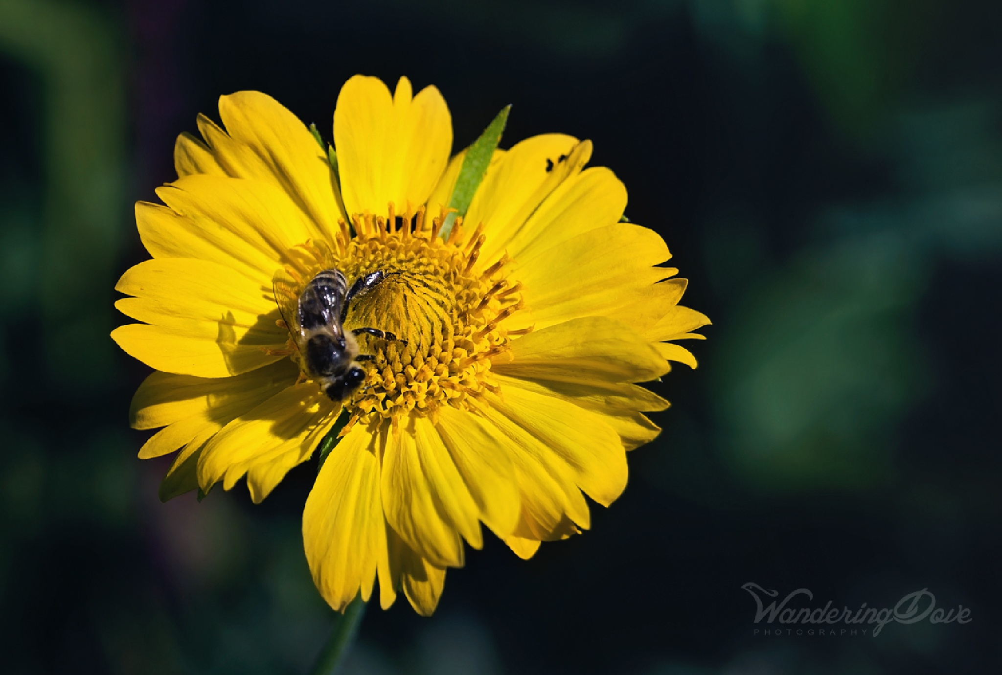Bee on camomile by Wandering Dove Photography