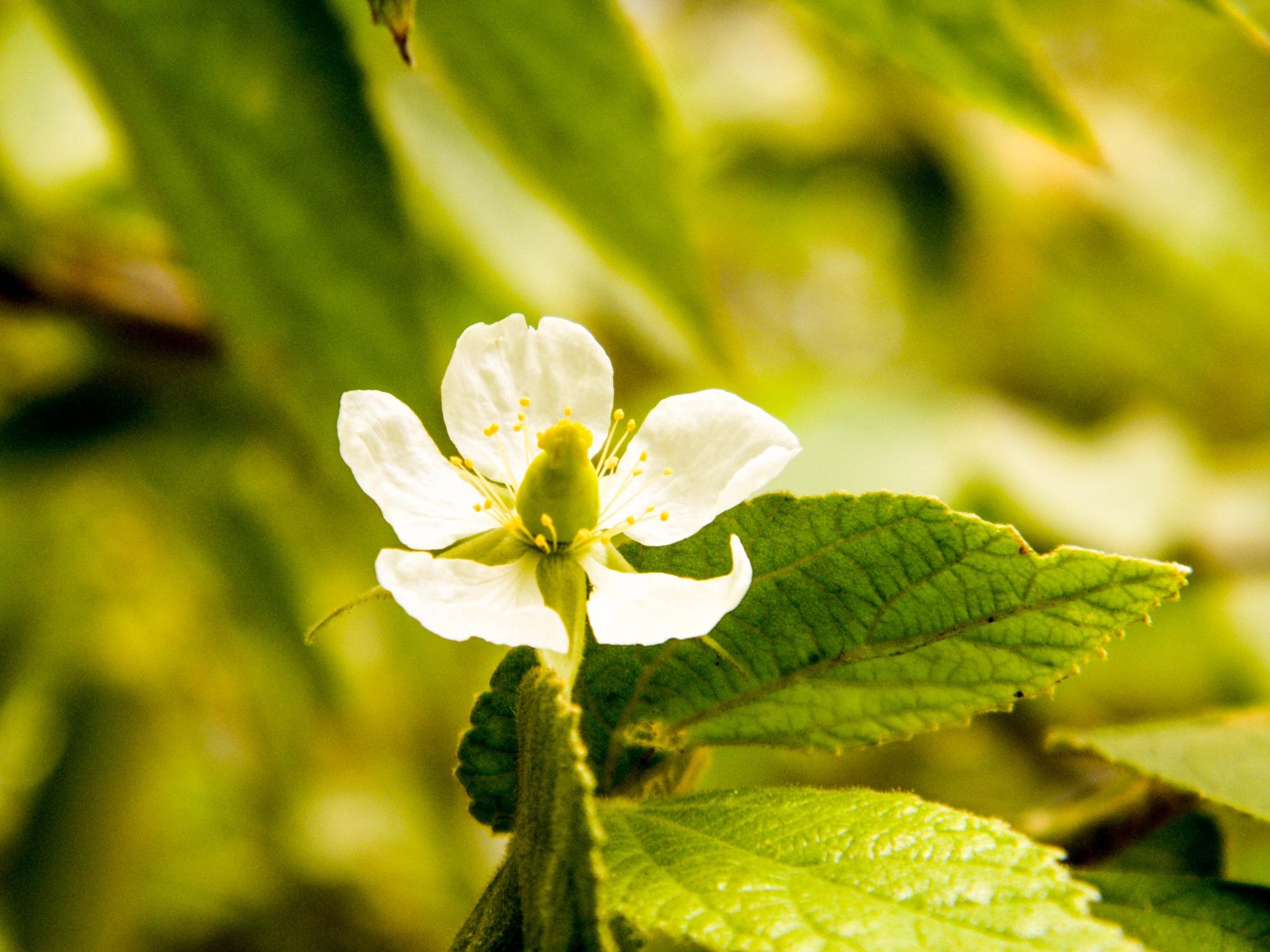 White flower by saravanayuvaraj