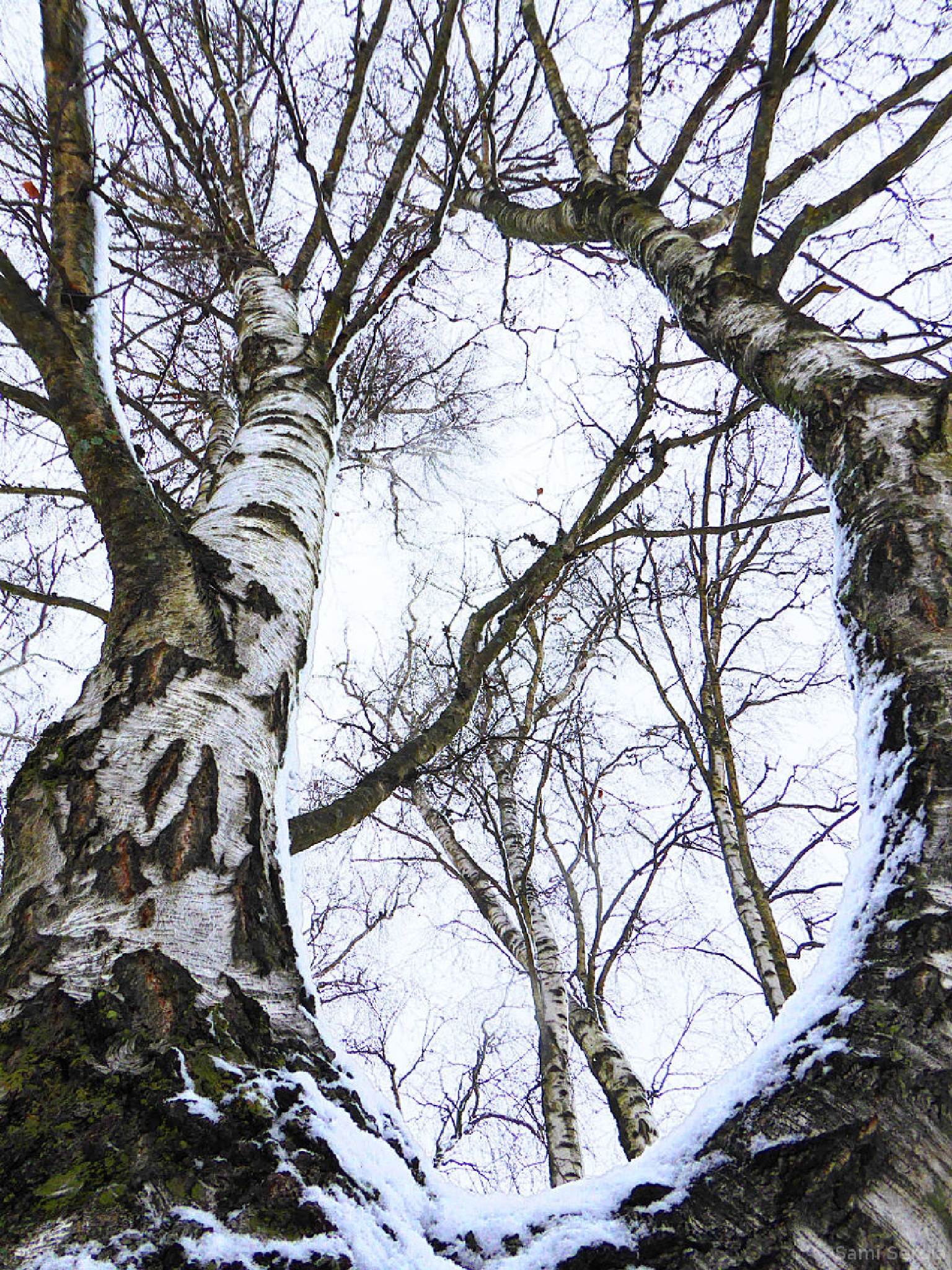Birch trees in the winter by Sami Serola