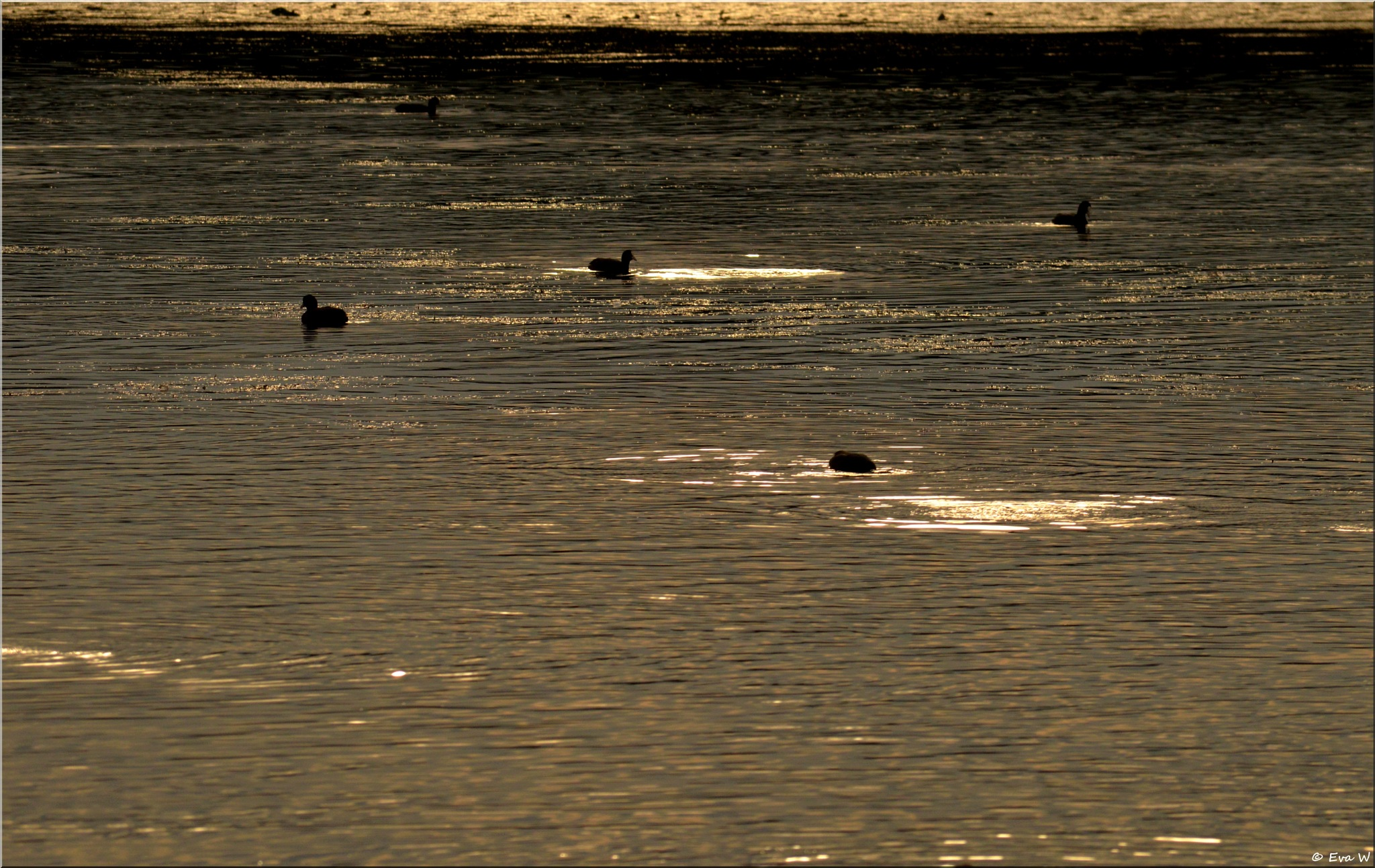 Coots in the eveningsun  by EvaWiren
