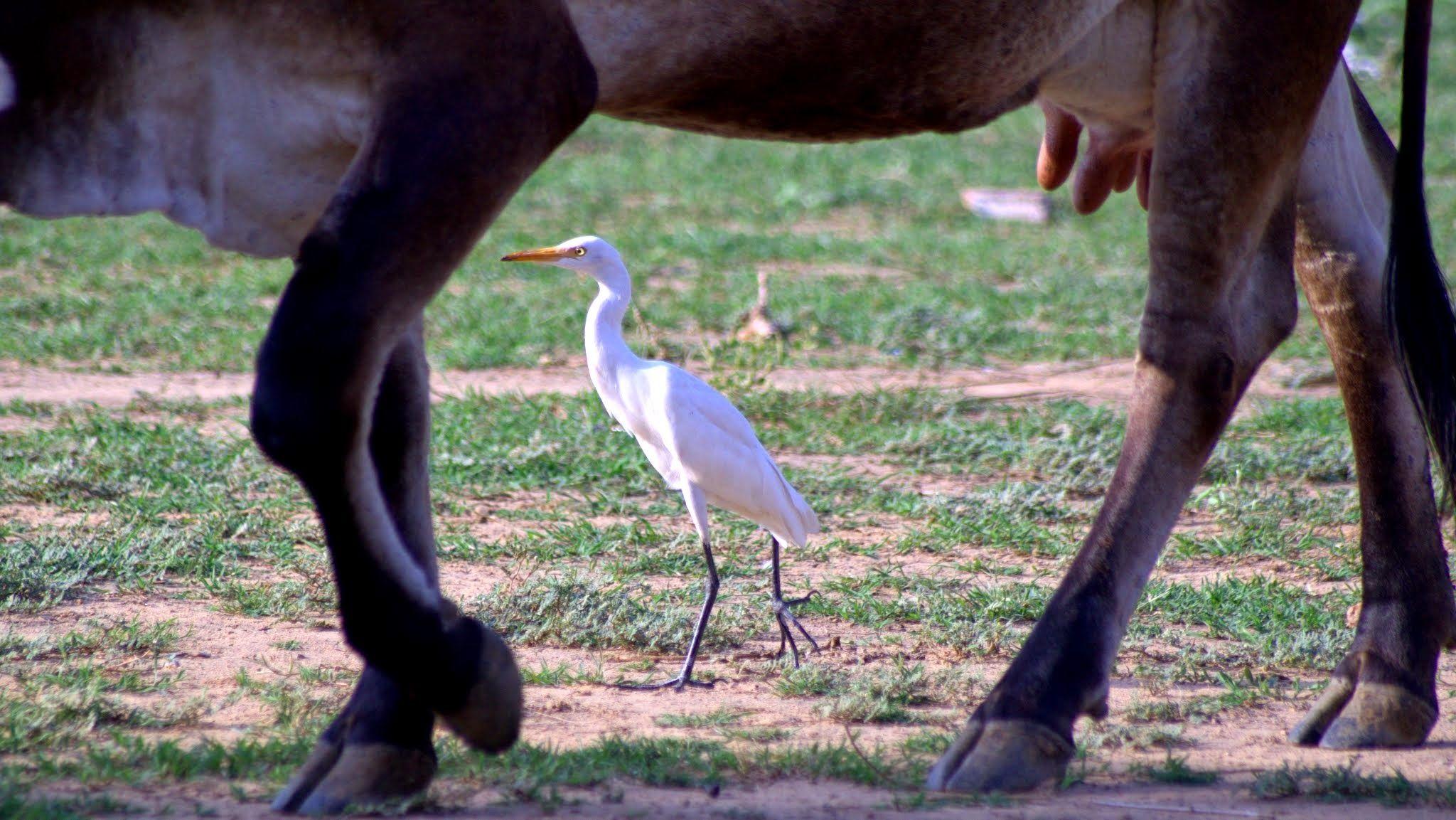 Cattle Egret  & its synergic relationship by mohendra minocha