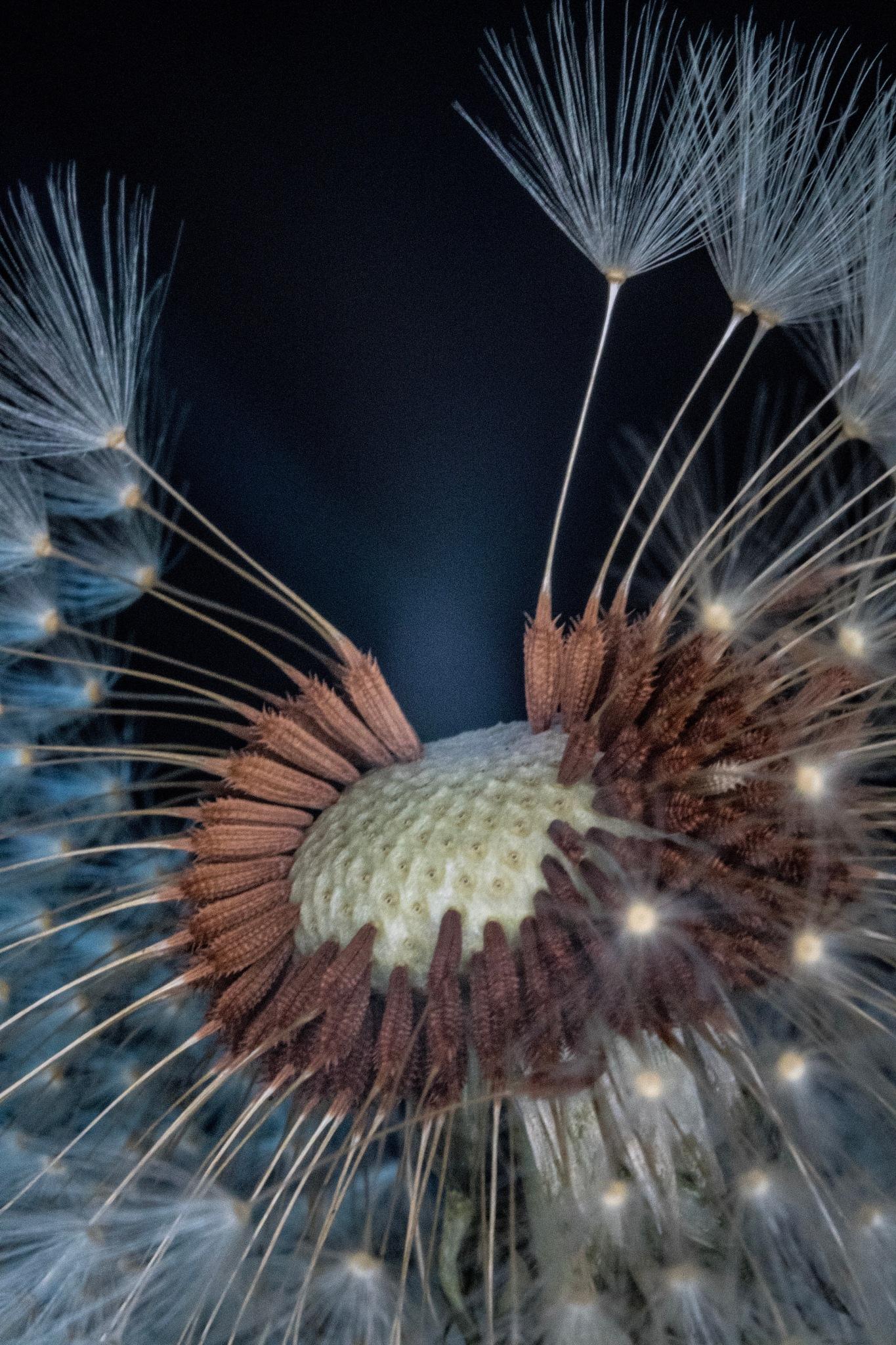 Dandelion #2 by Steve Matten