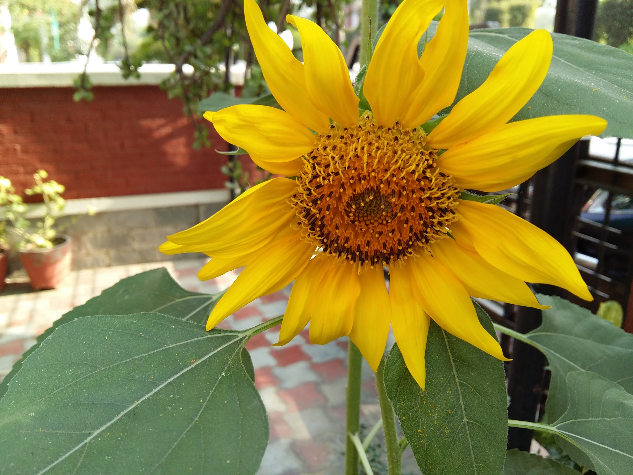 Sunflower by Kalpana
