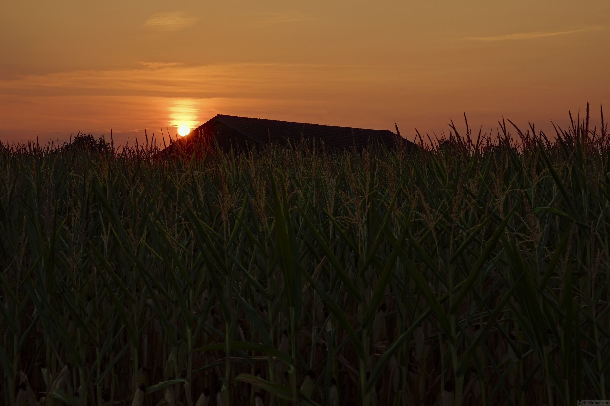 charme of a cornfield by Michael