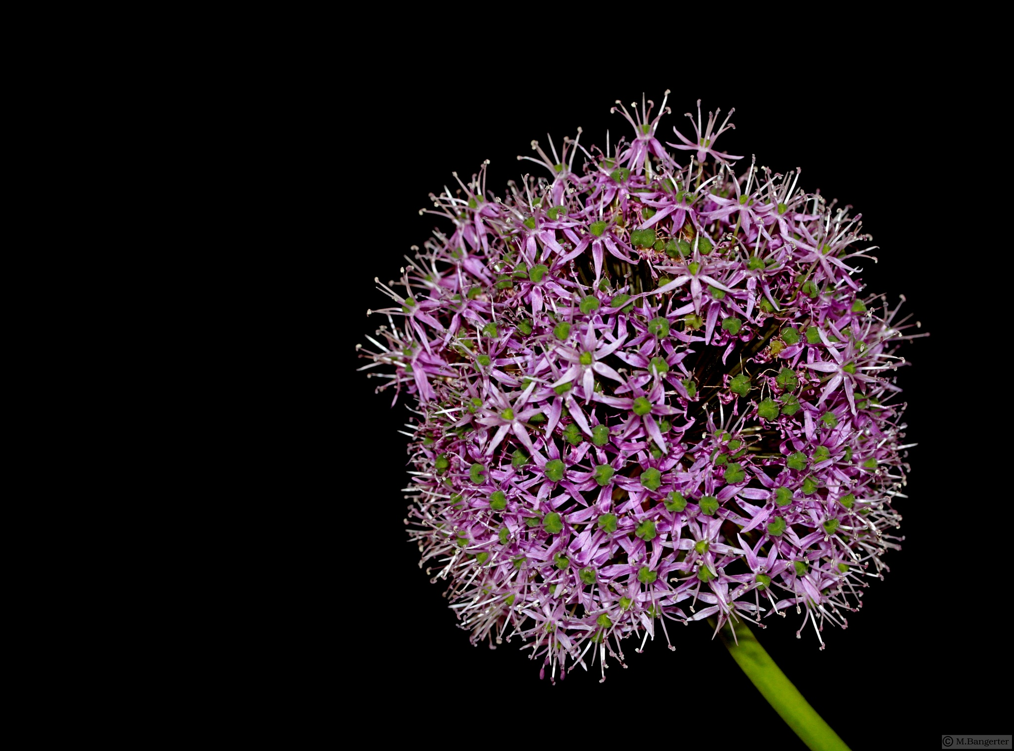 Photo in Fine Art #zierlauch #allium caeruleum #blossom of allium