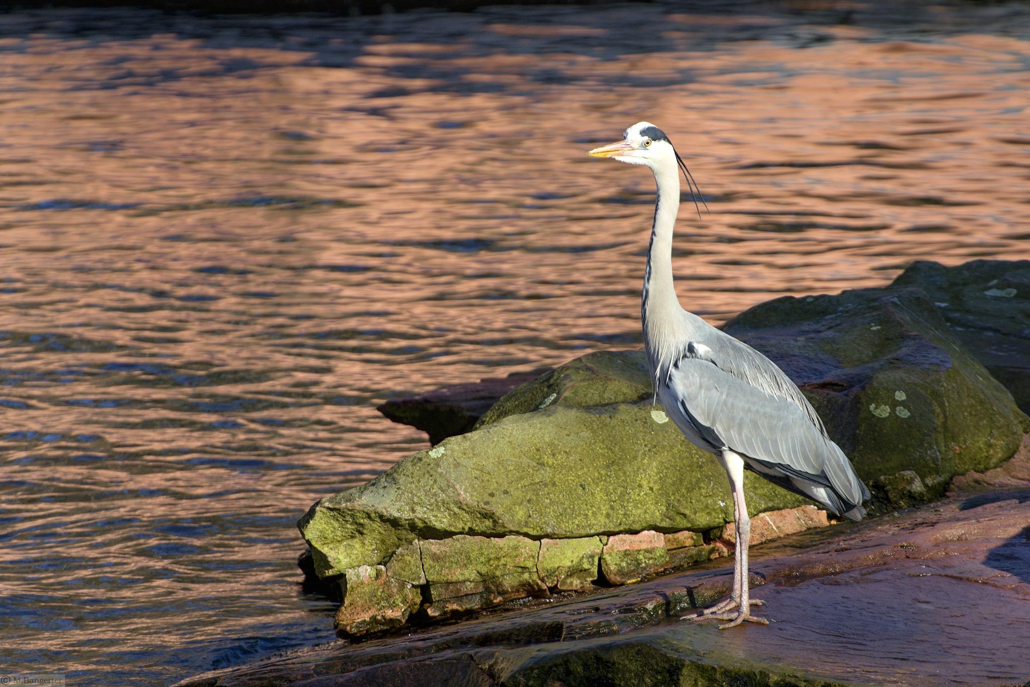 Photo in Animal #animal #bird #heron
