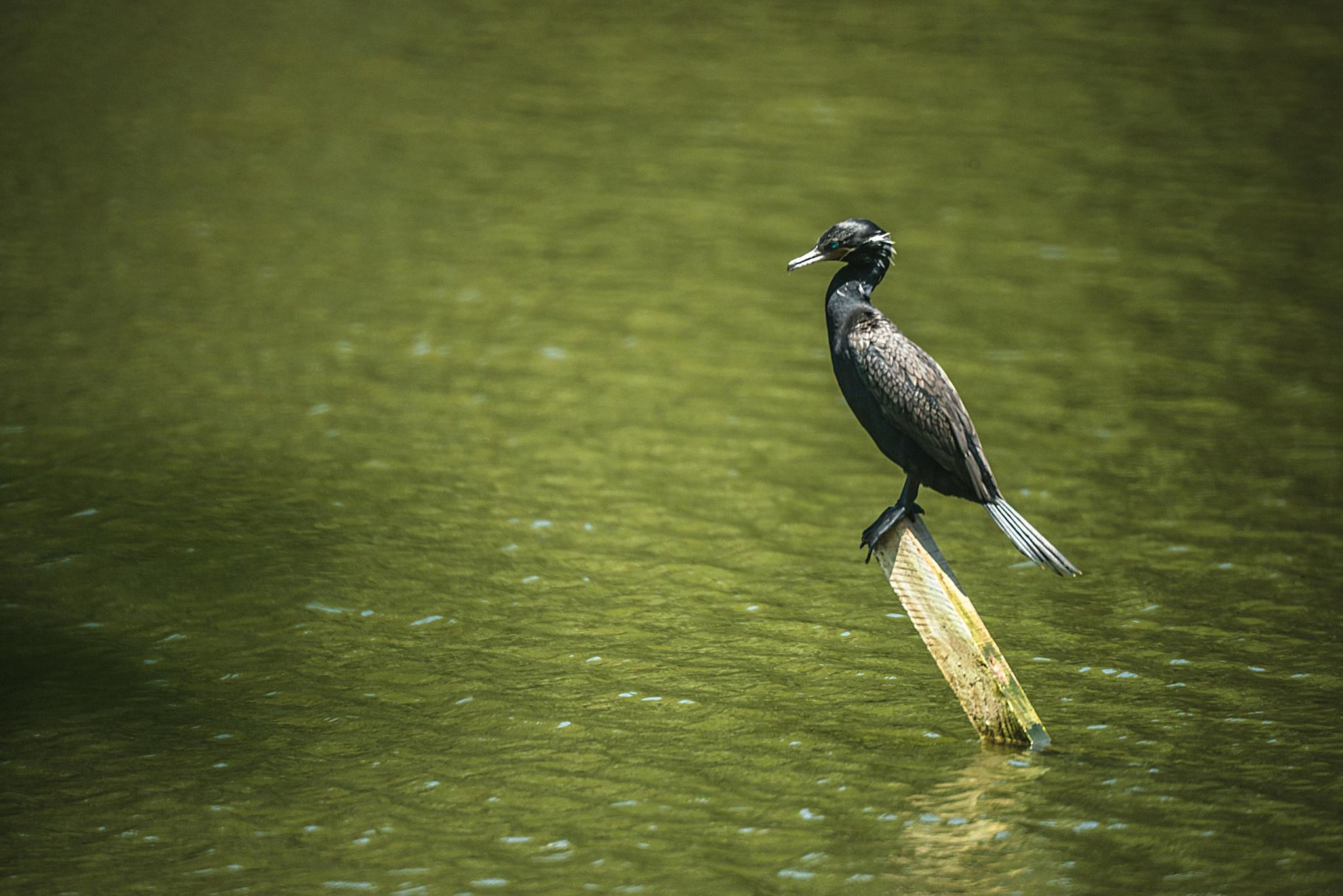Neotropic Cormorant - Biguá by Junior Esteves