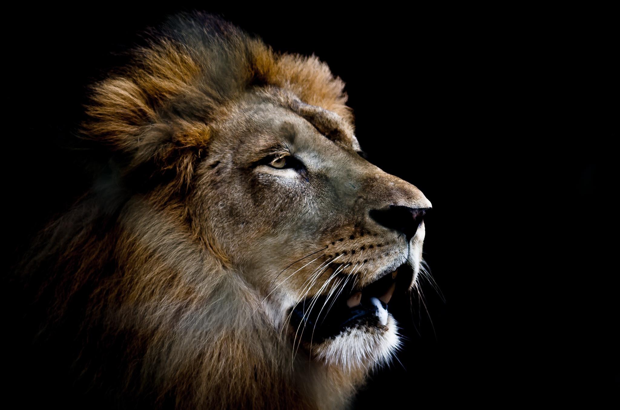 Lion by Junior Esteves
