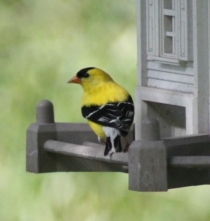American Goldfinch  by Lorne Jones