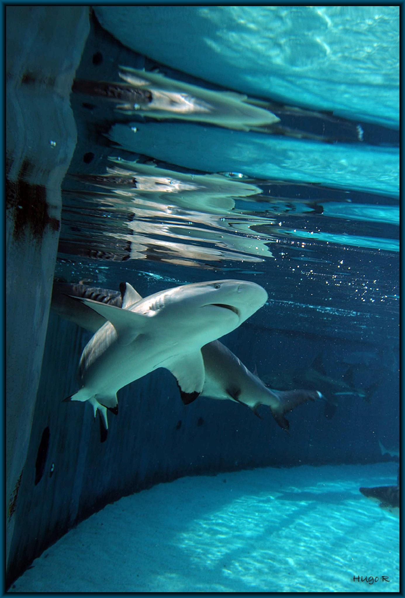 Shark  by Hugo