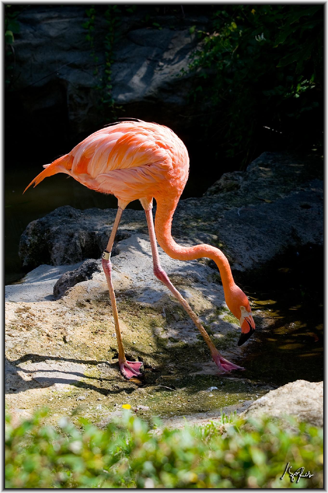 Flamingo  by Hugo