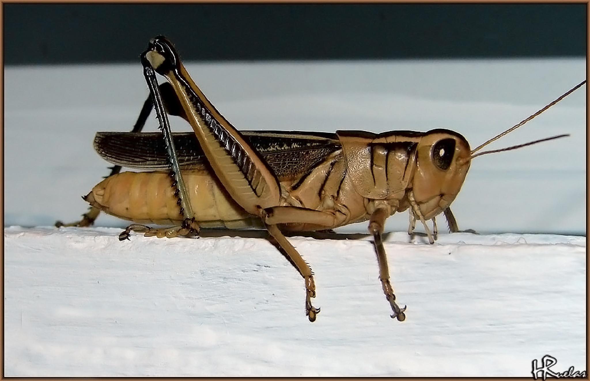 Grasshopper  by Hugo