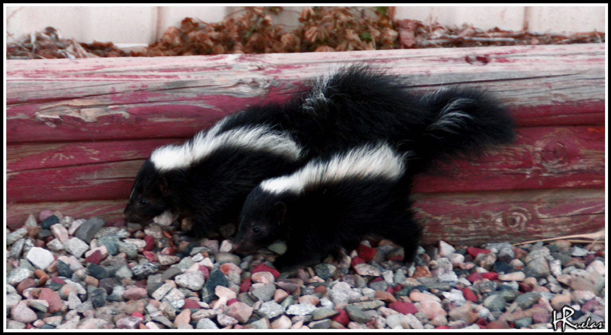 Baby Skunks by Hugo