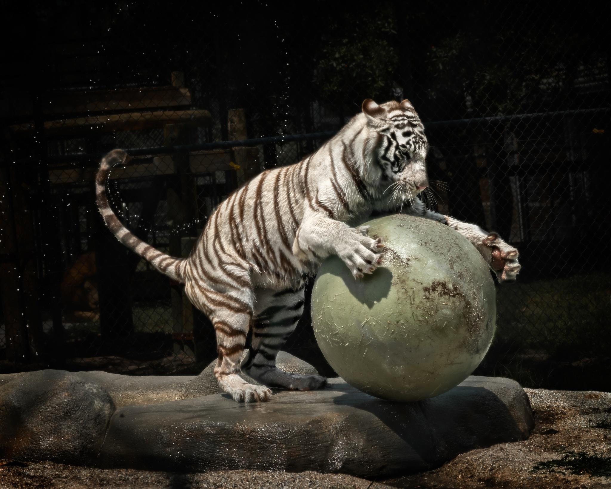 Tiger at play by Tamdan