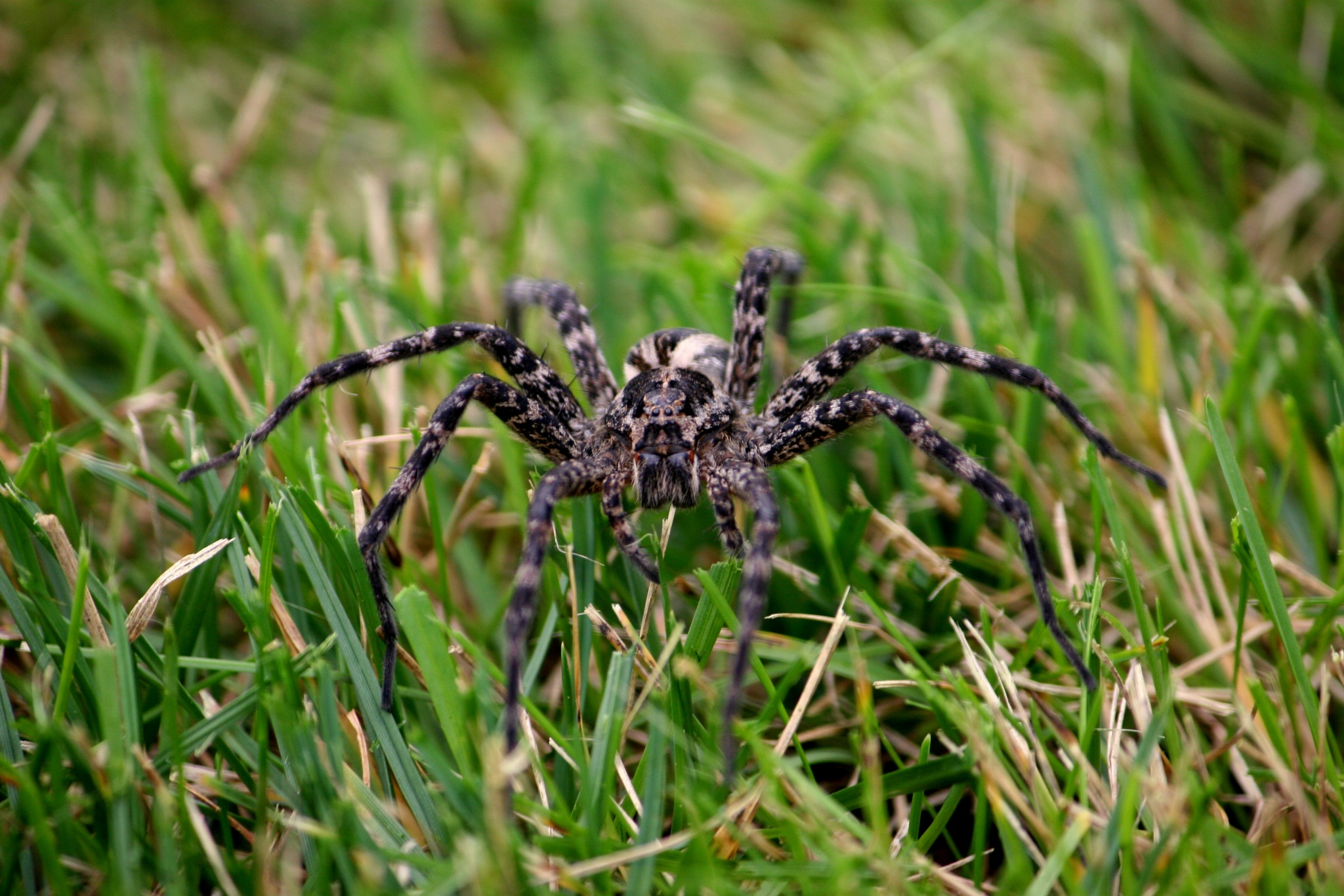Wolf Spider by Cathy Honke
