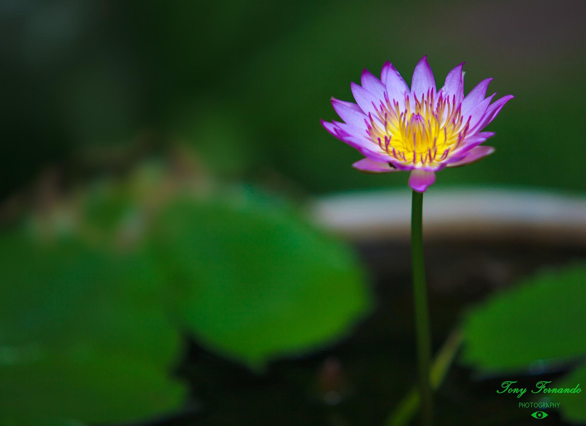 Blue Lotus - Nymphaea nouchali, often known by its synonym Nymphaea stellata. by Tony Fernando