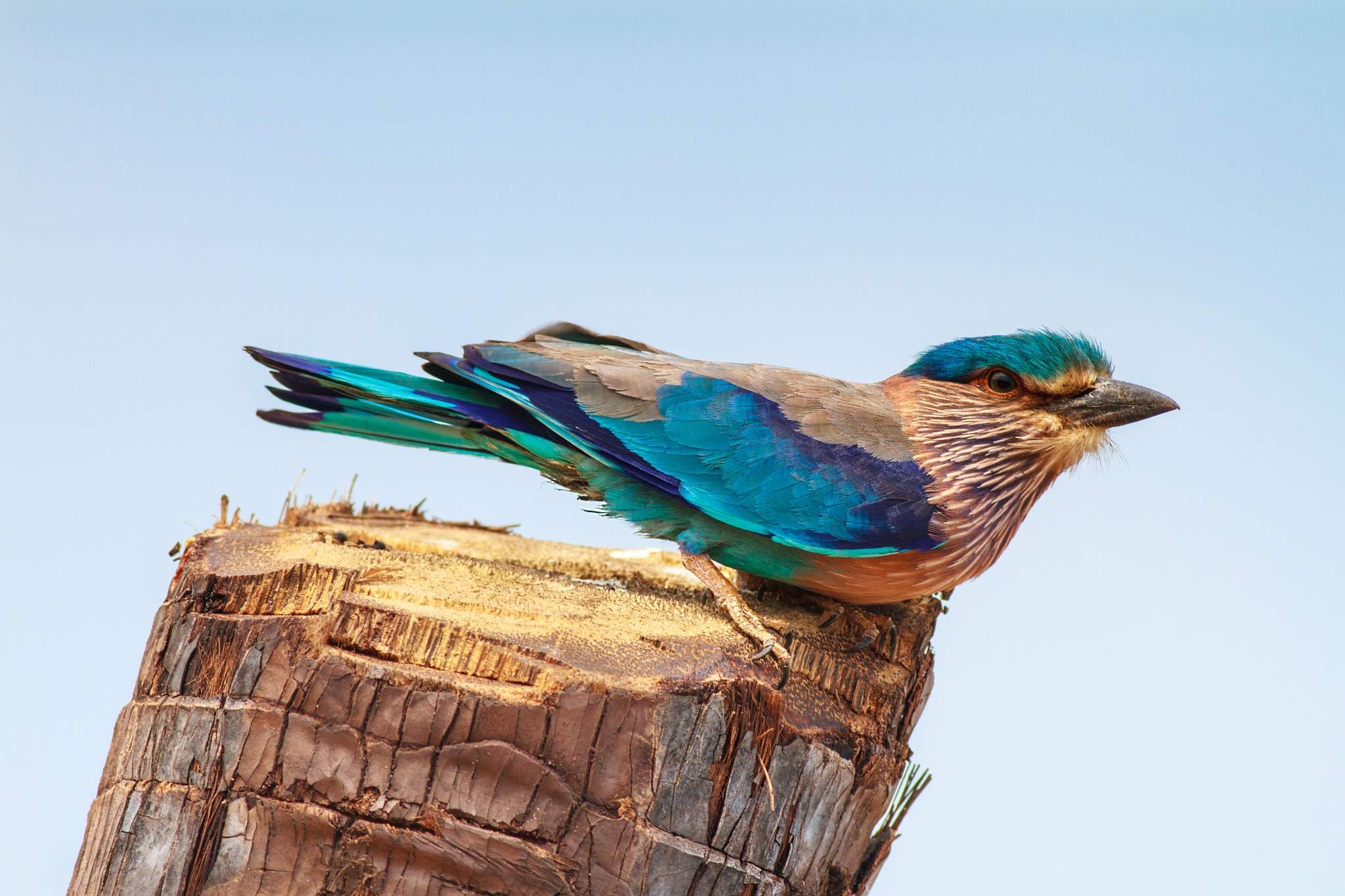 The Indian roller (Coracias benghalensis) by Tony Fernando