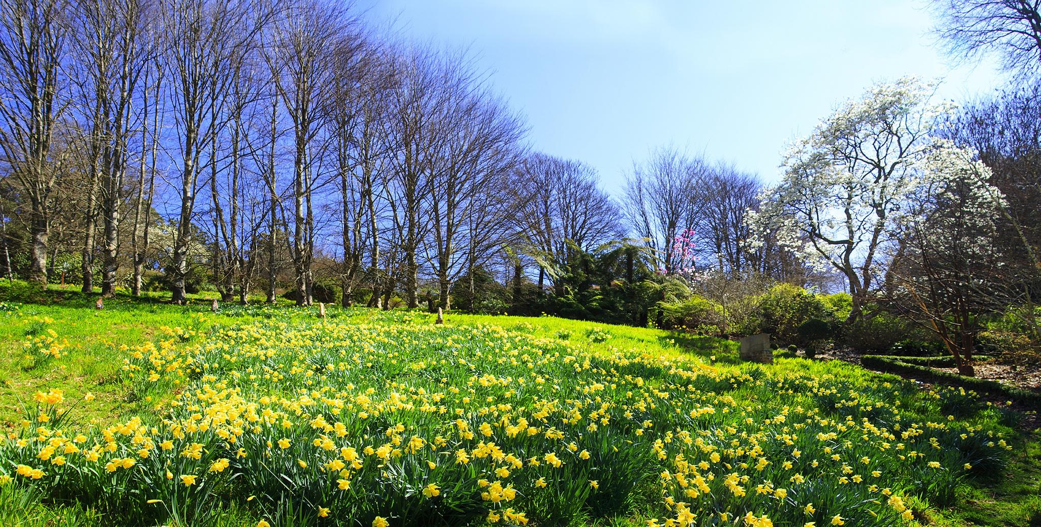 Daffodil fields by Lois Larner
