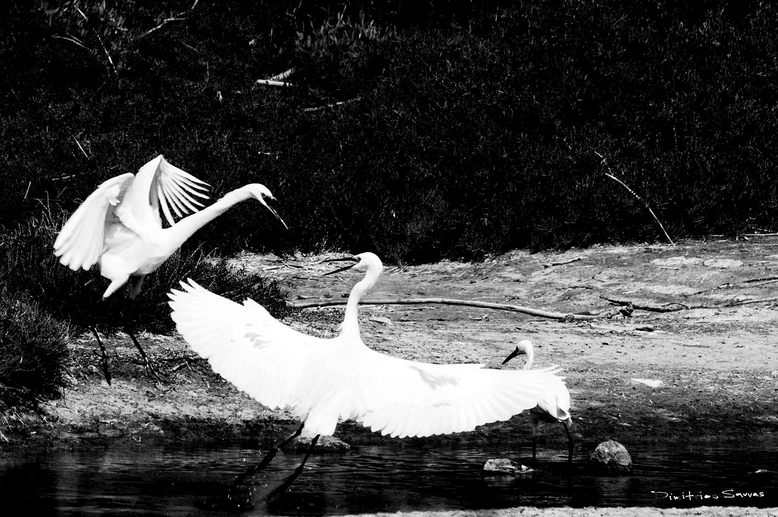 the fight of the egrets  by dimitrissavvas