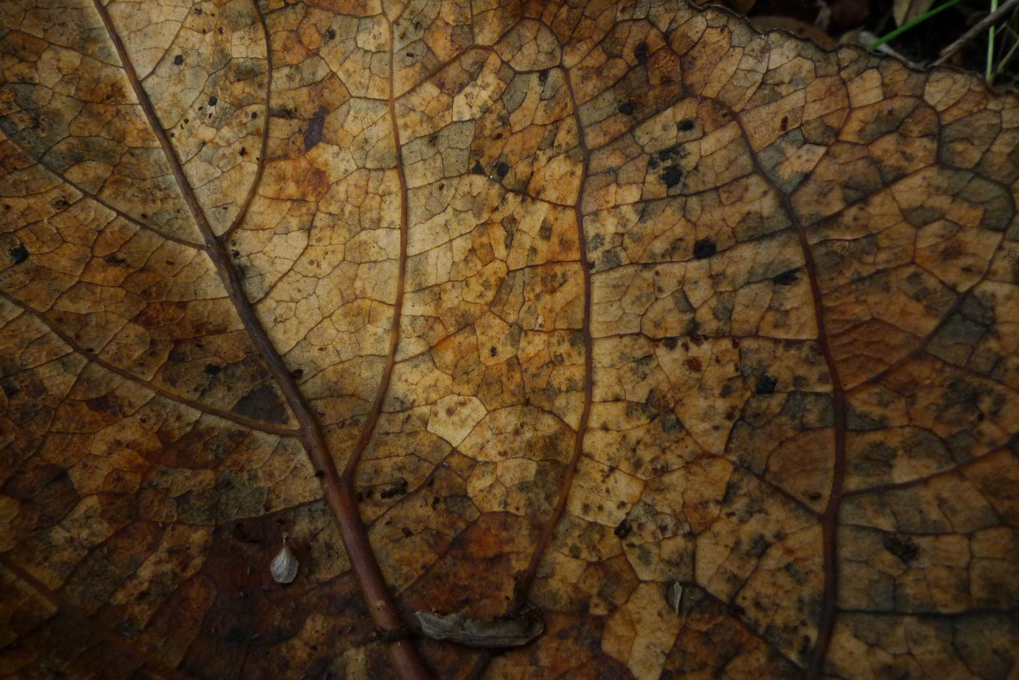 leaf carcass by solenoid