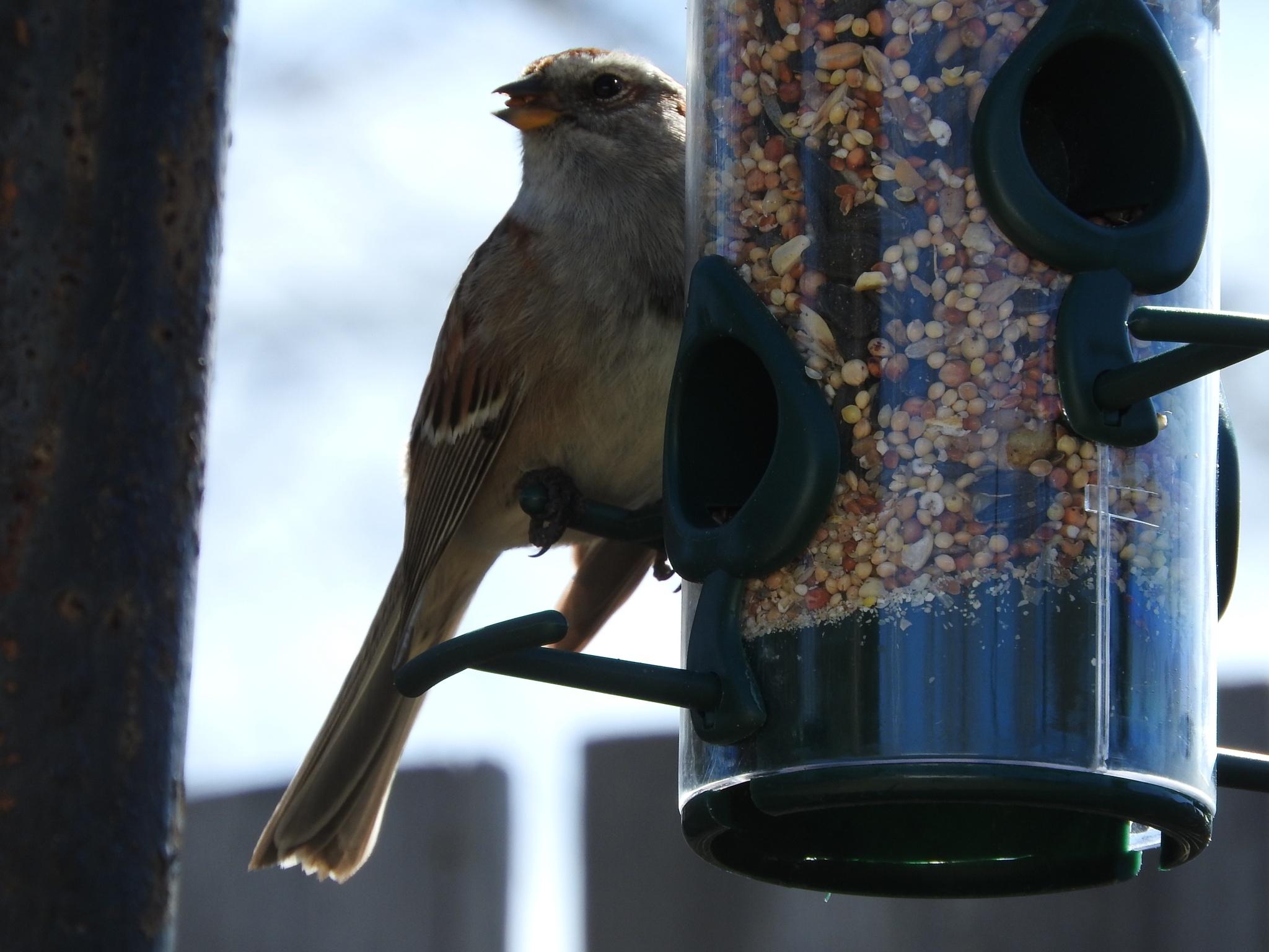 Sparrow by Lorraine Furmanic