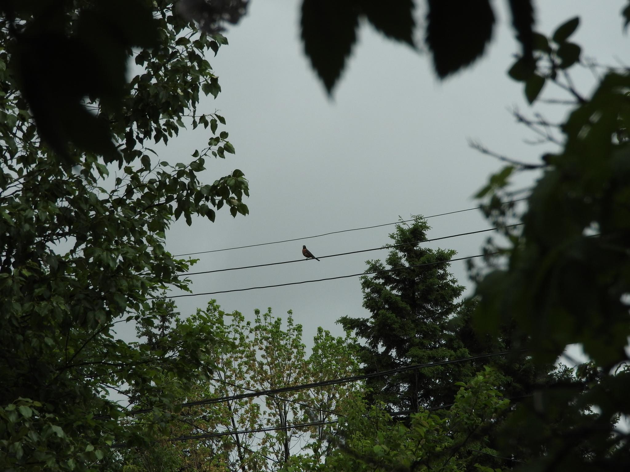 Robin watching over us  by Lorraine Furmanic