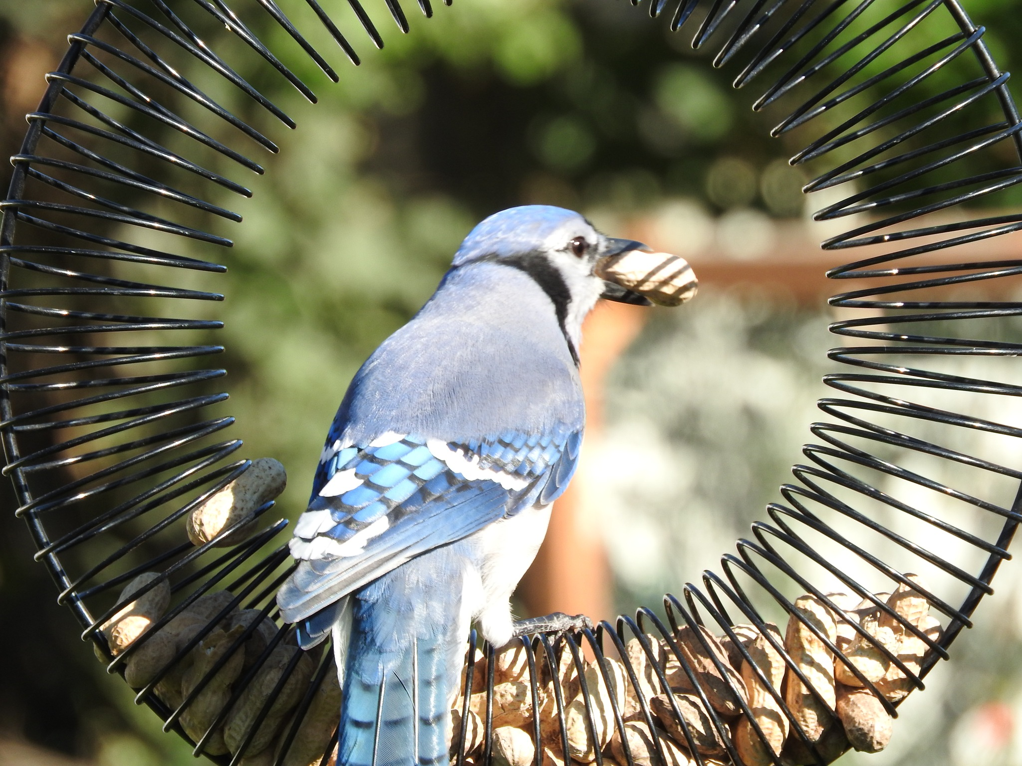 spirals and shadows surrounding this beautiful jay by Lorraine Furmanic