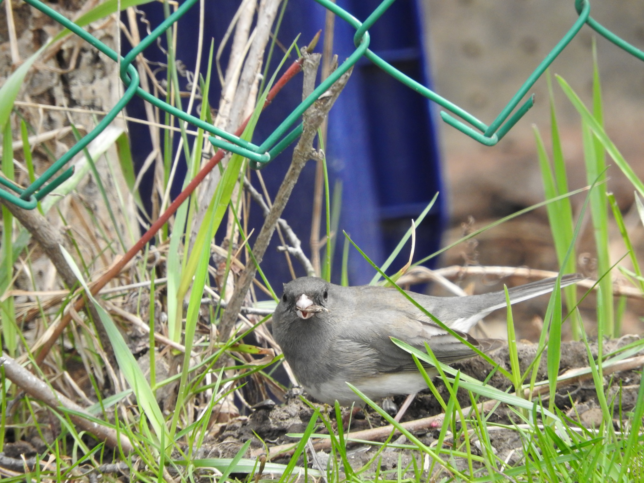 dark eyed junco munching on sunflower seeds by Lorraine Furmanic