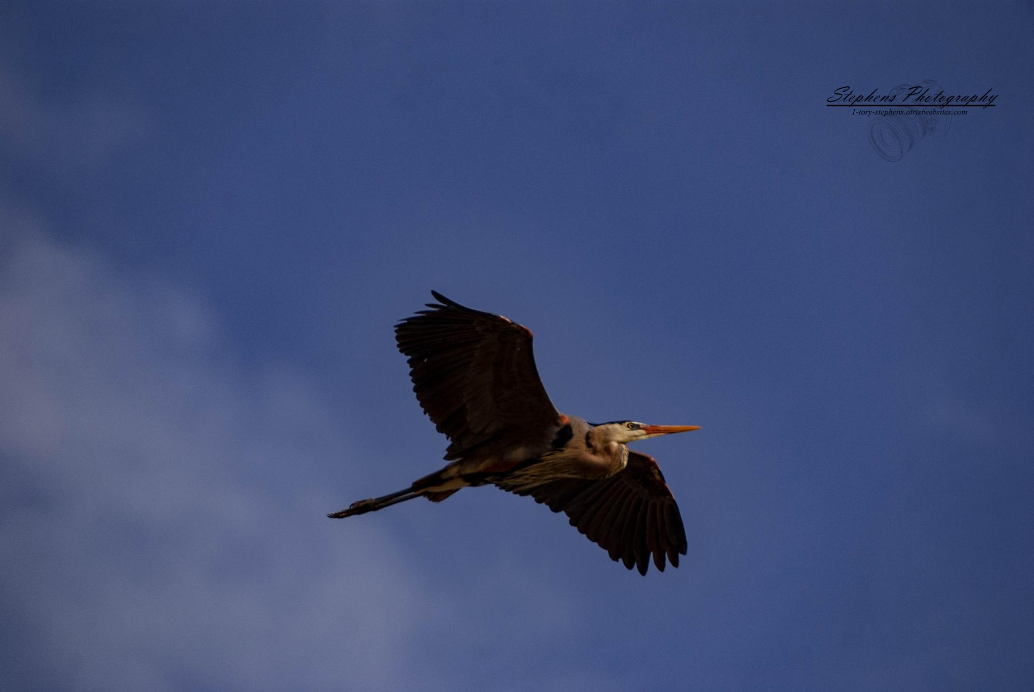 Great Blue Heron in Flight by Tory L. Stephens
