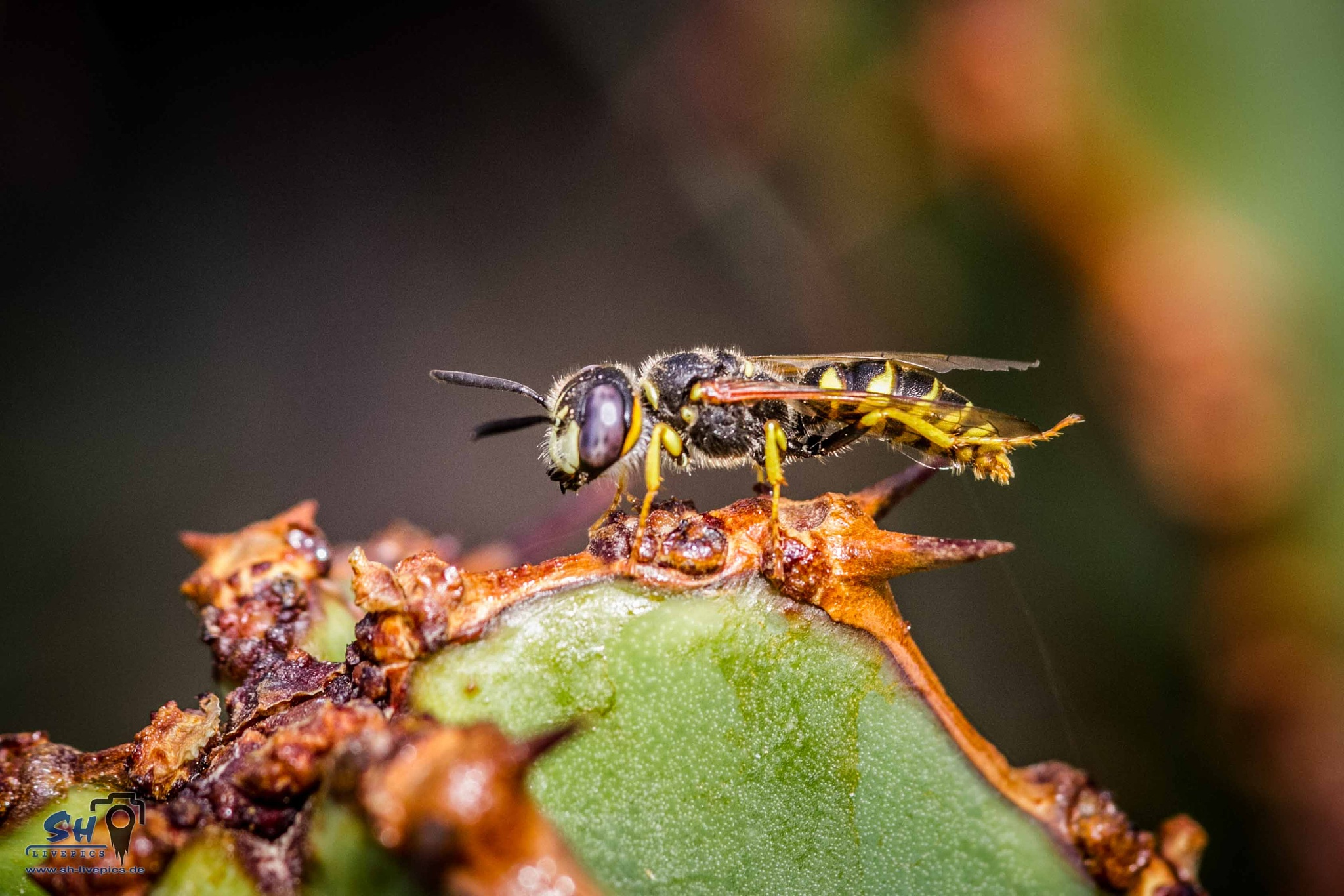Wasp ... by SH Livepics