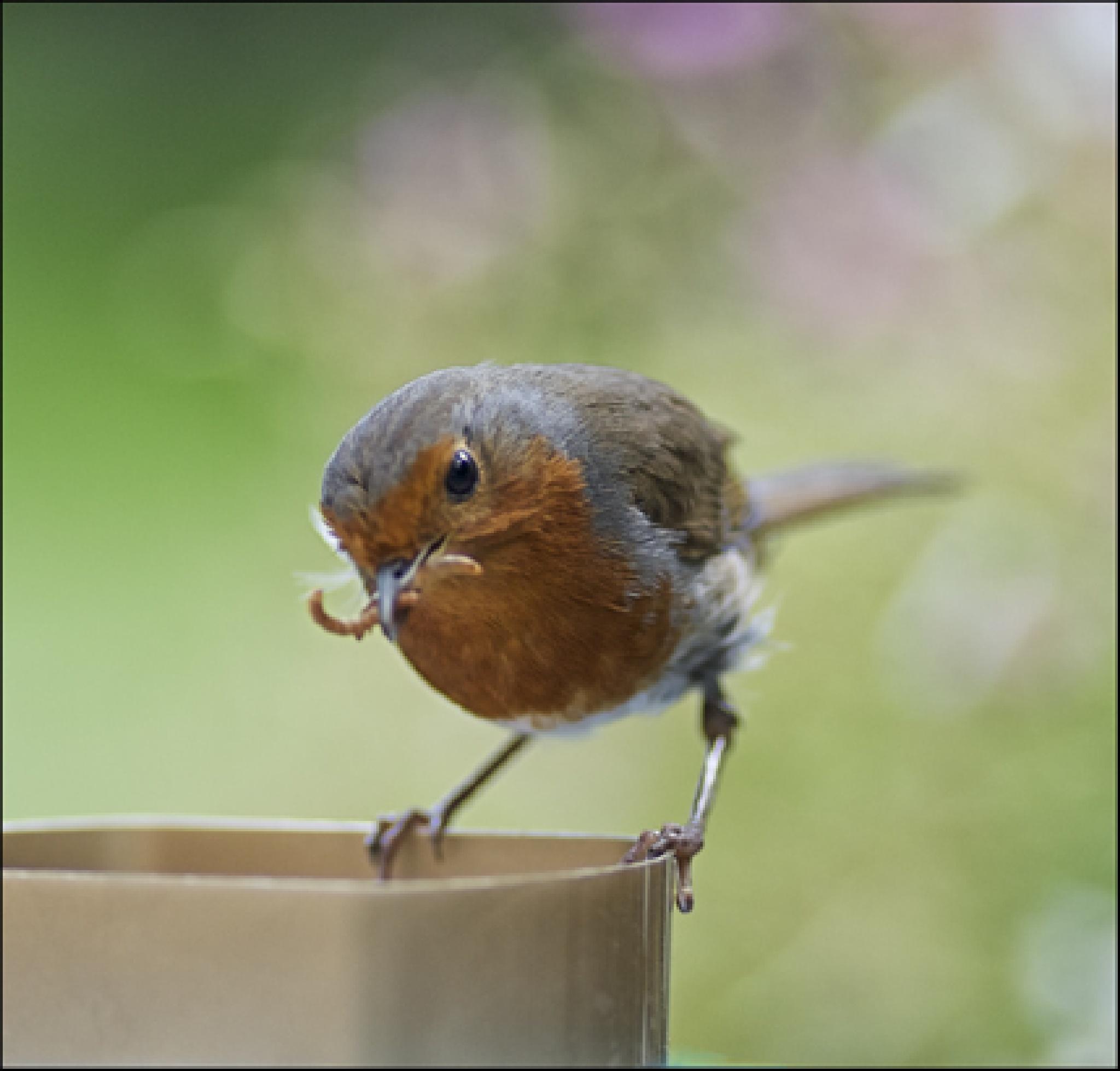 Robin …. by FrankLockwood